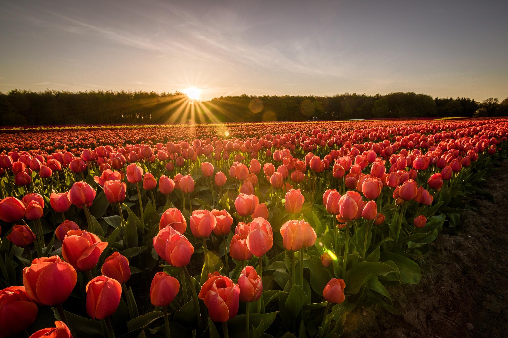Tulips by Michael B. Rasmussen
