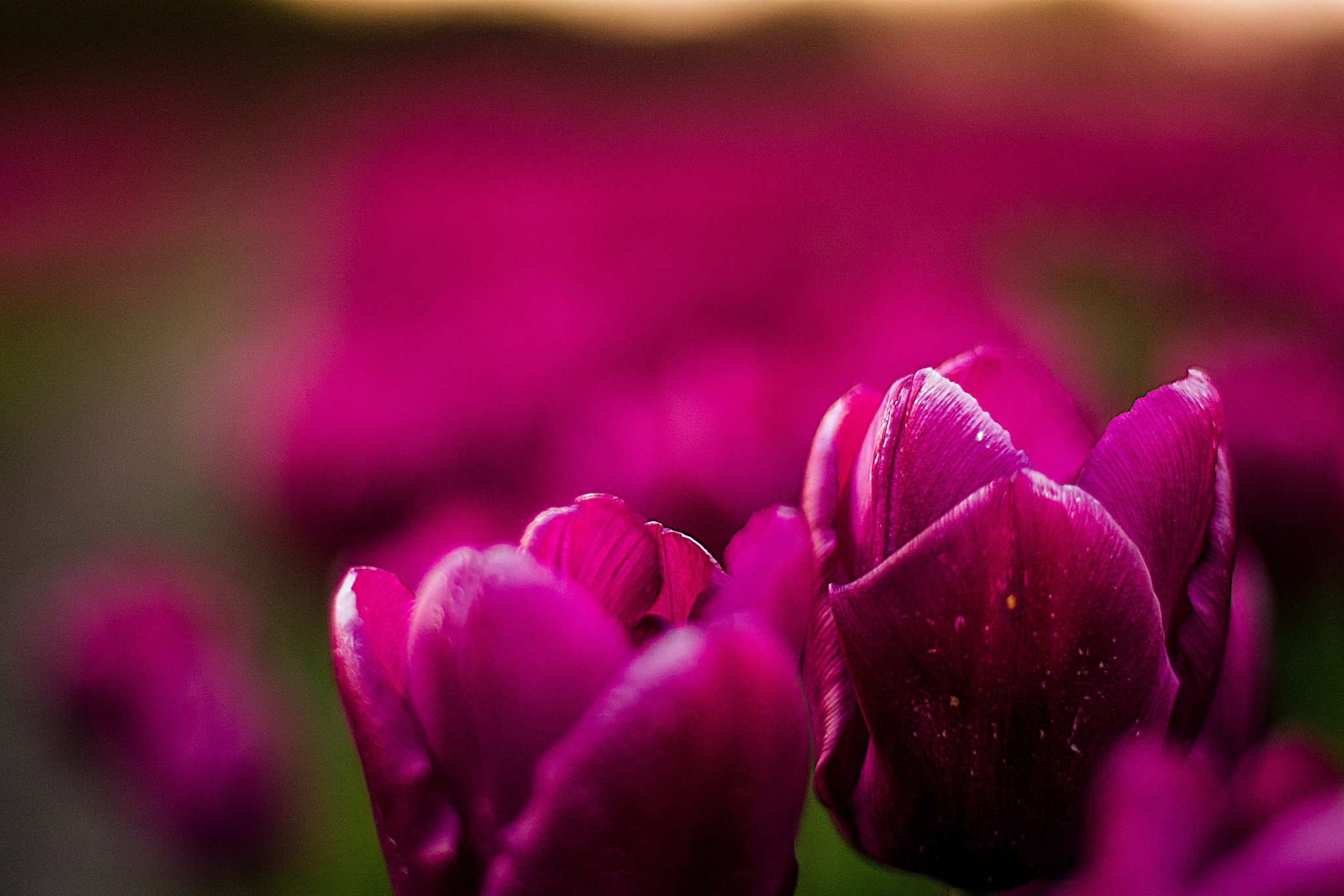 Photo in Nature #color #farming #flora #flower #nature #plants #summer #tulips #colors #denmark #nature photography