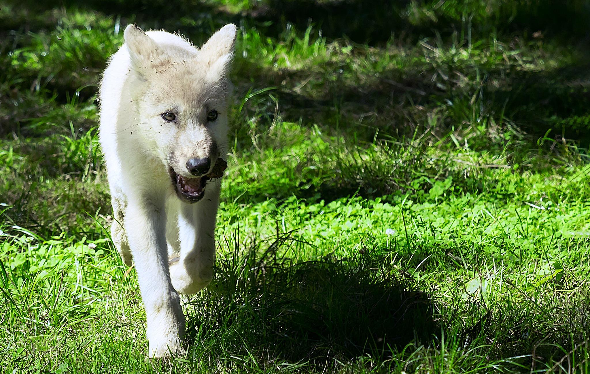 White wolf pup by Michael B. Rasmussen