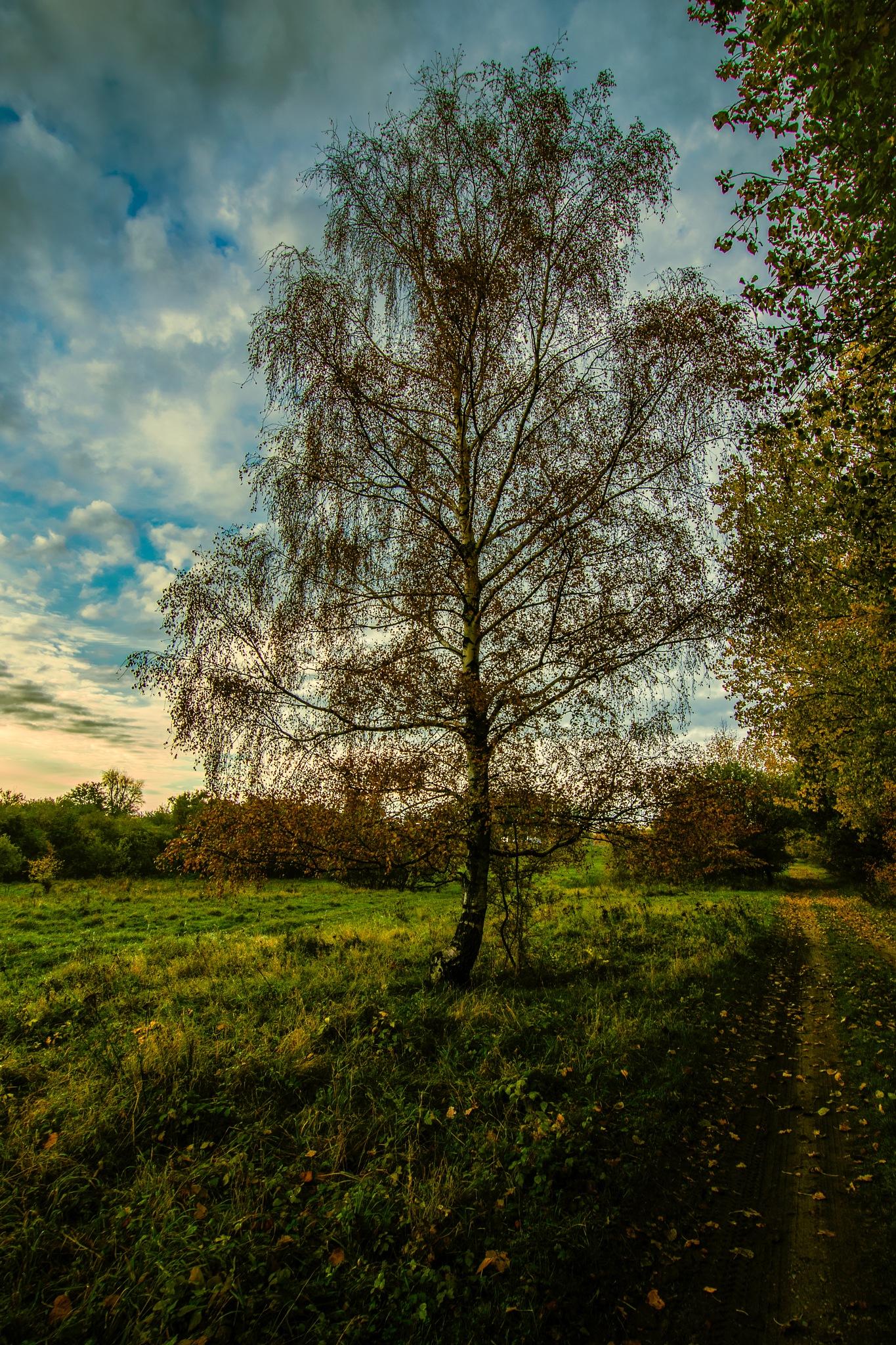 The birch by Michael B. Rasmussen