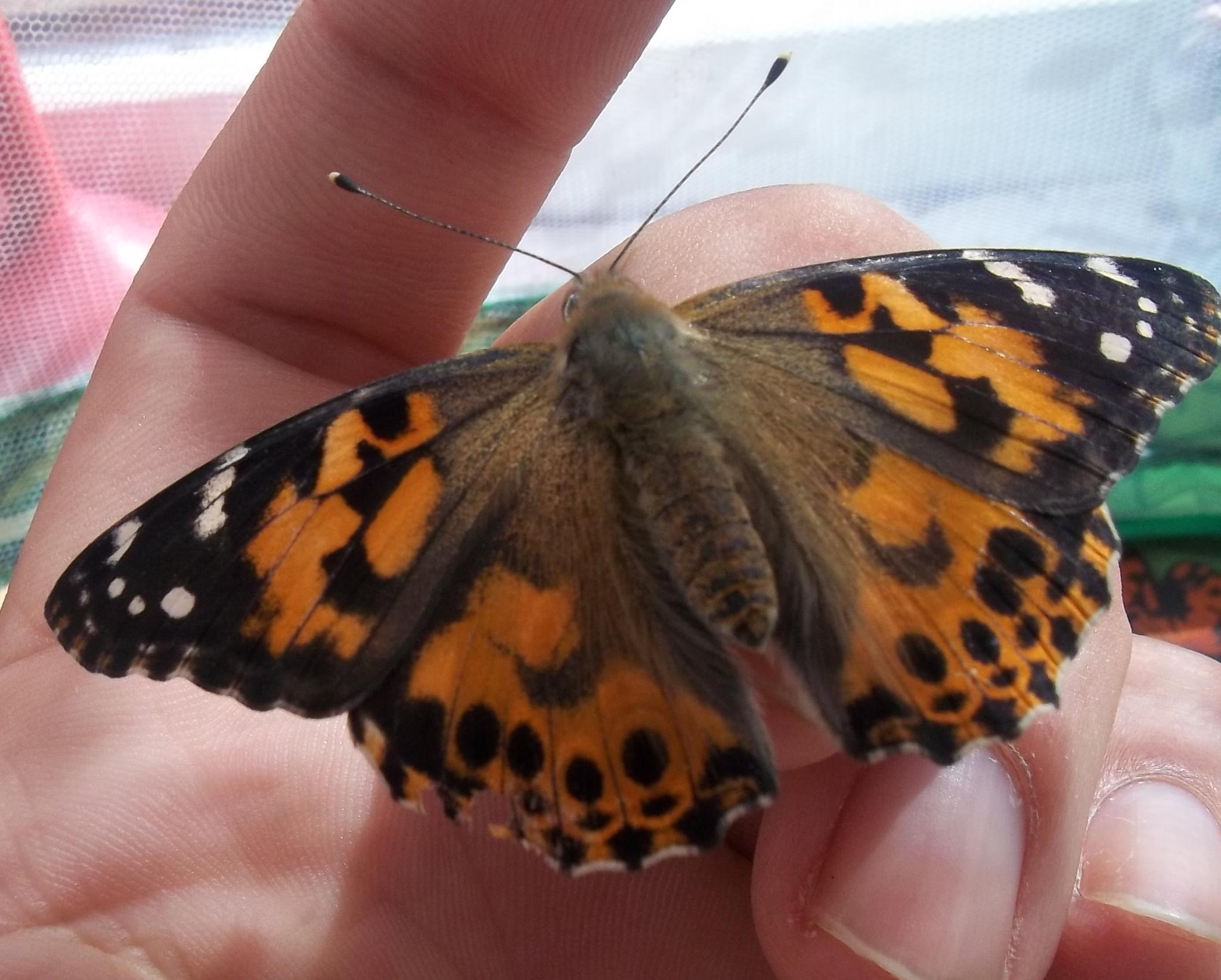 painted lady butterfly by gillian.burden