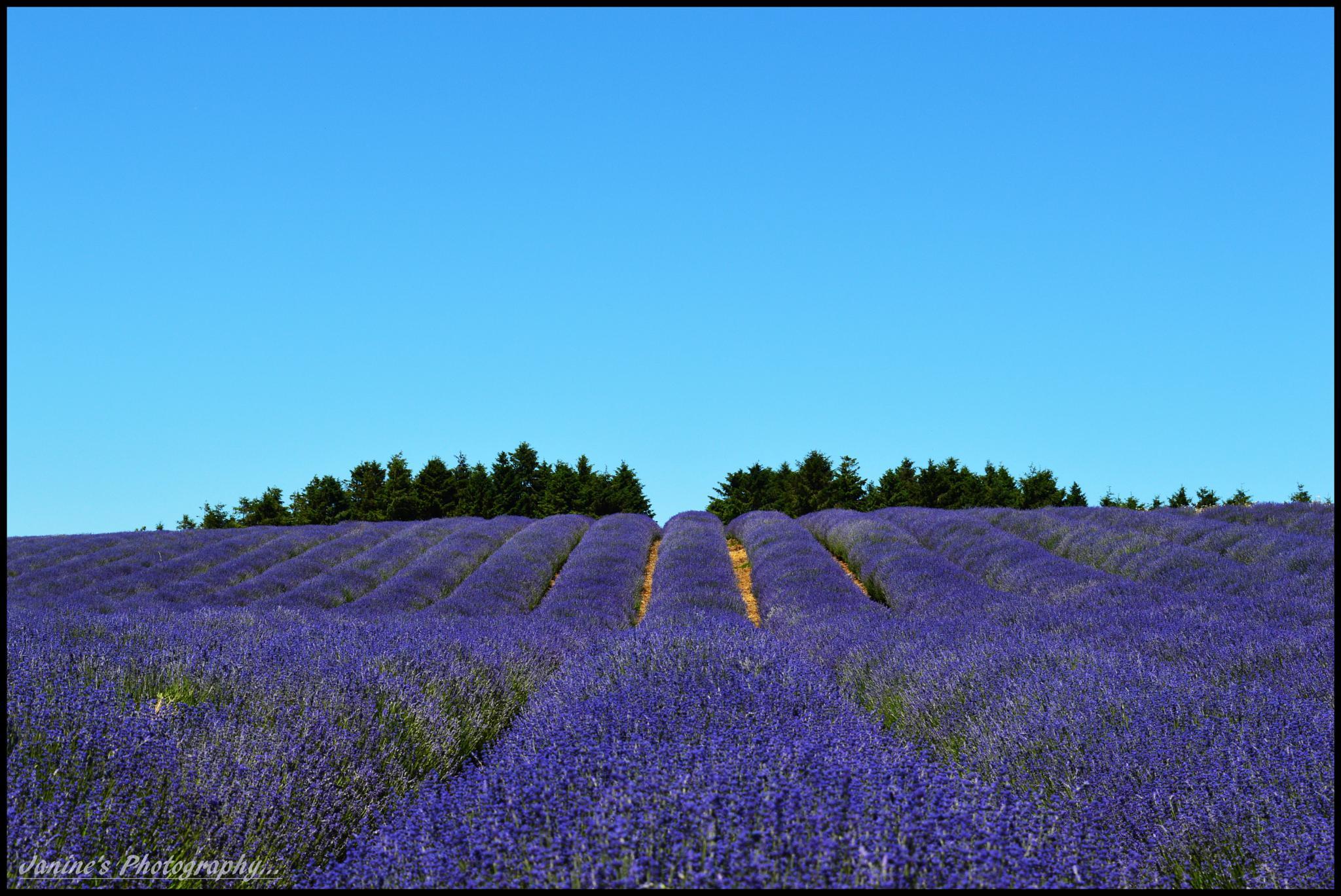 Cotswold Lavender Farm .. by Janine