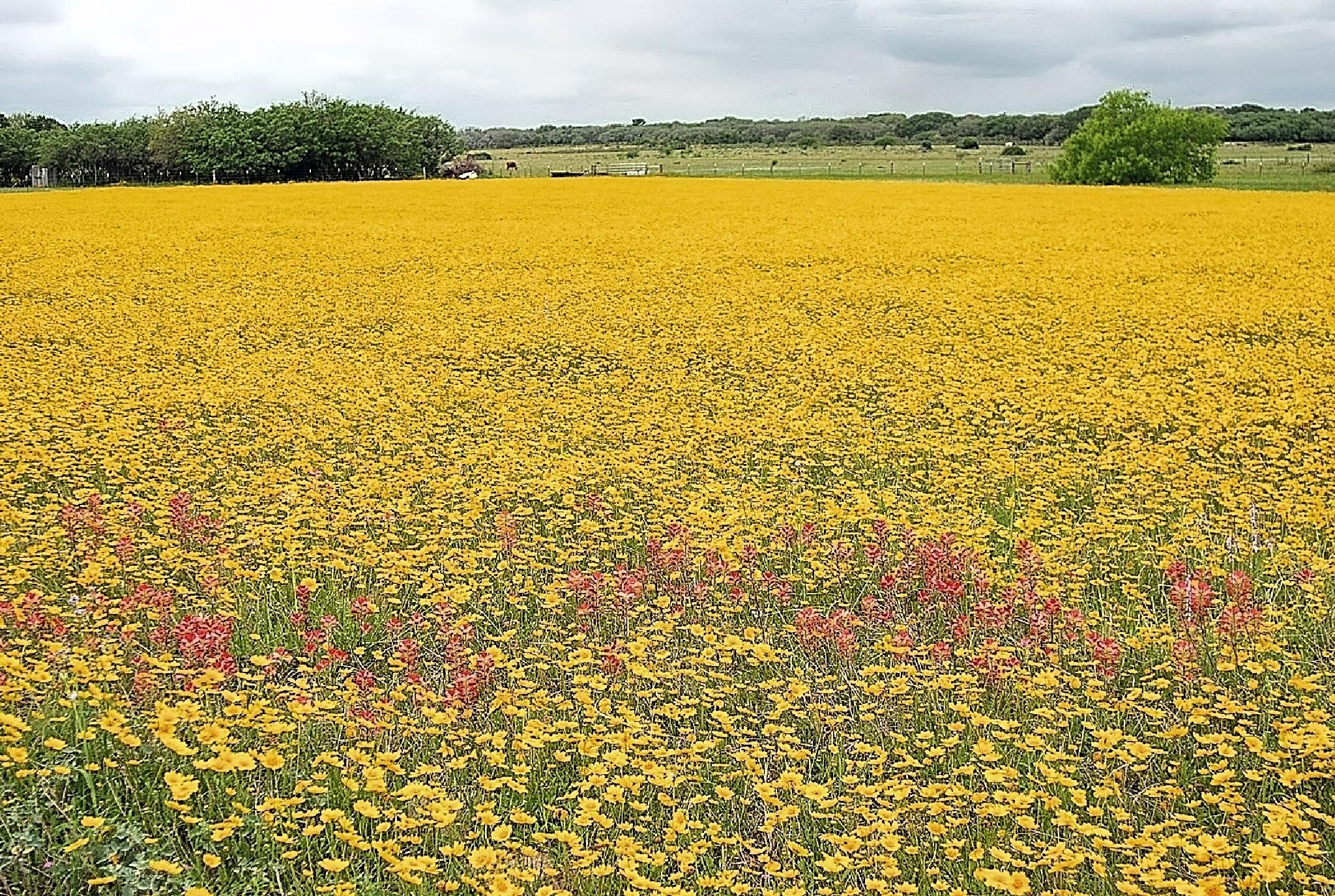 Texas Wildflowers by ray.alström