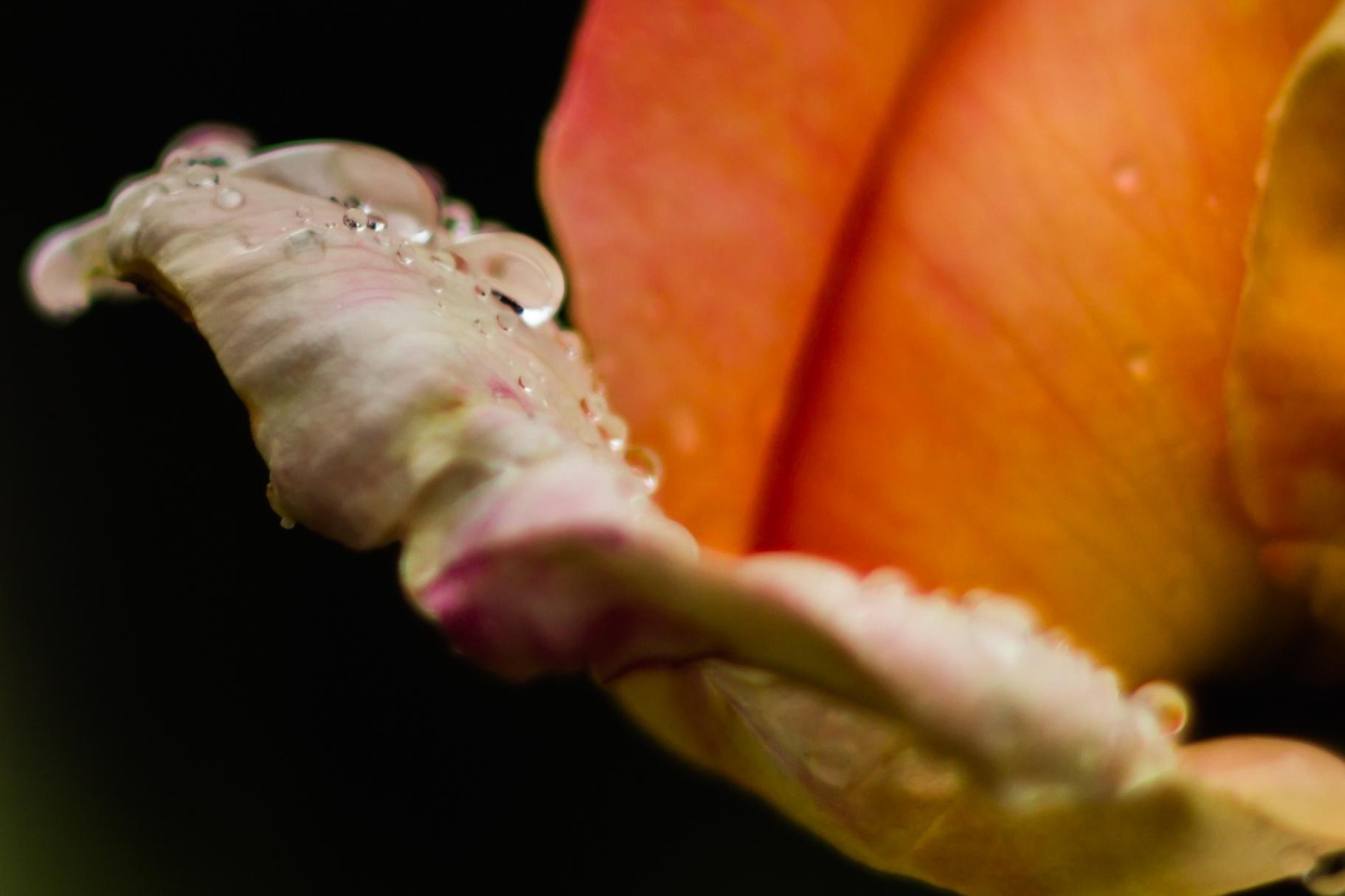 Photo in Nature #peach #rose #rain #drops