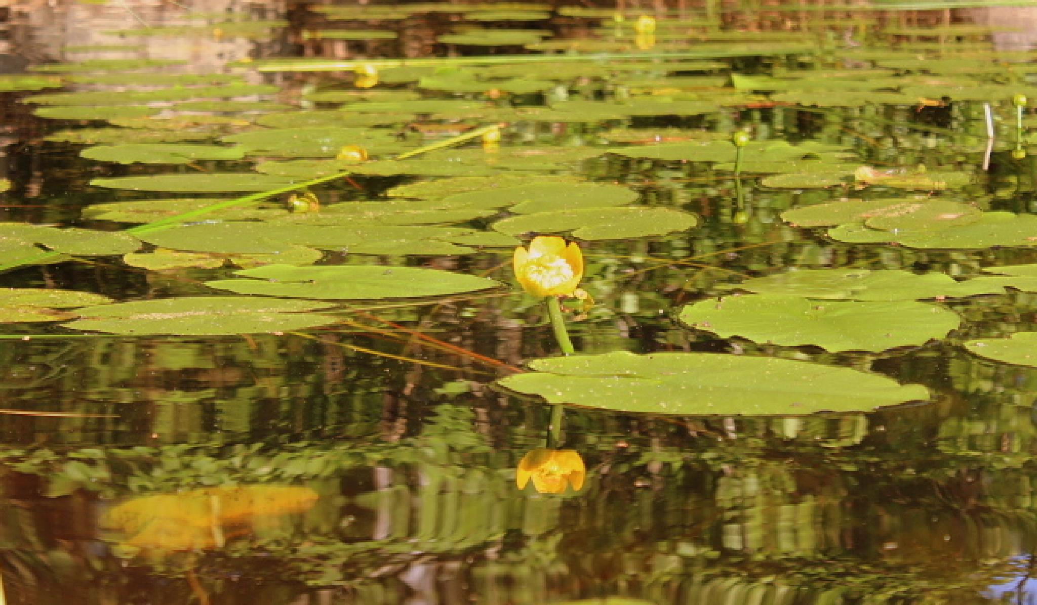 water lilies by maria.fahlqvistagren
