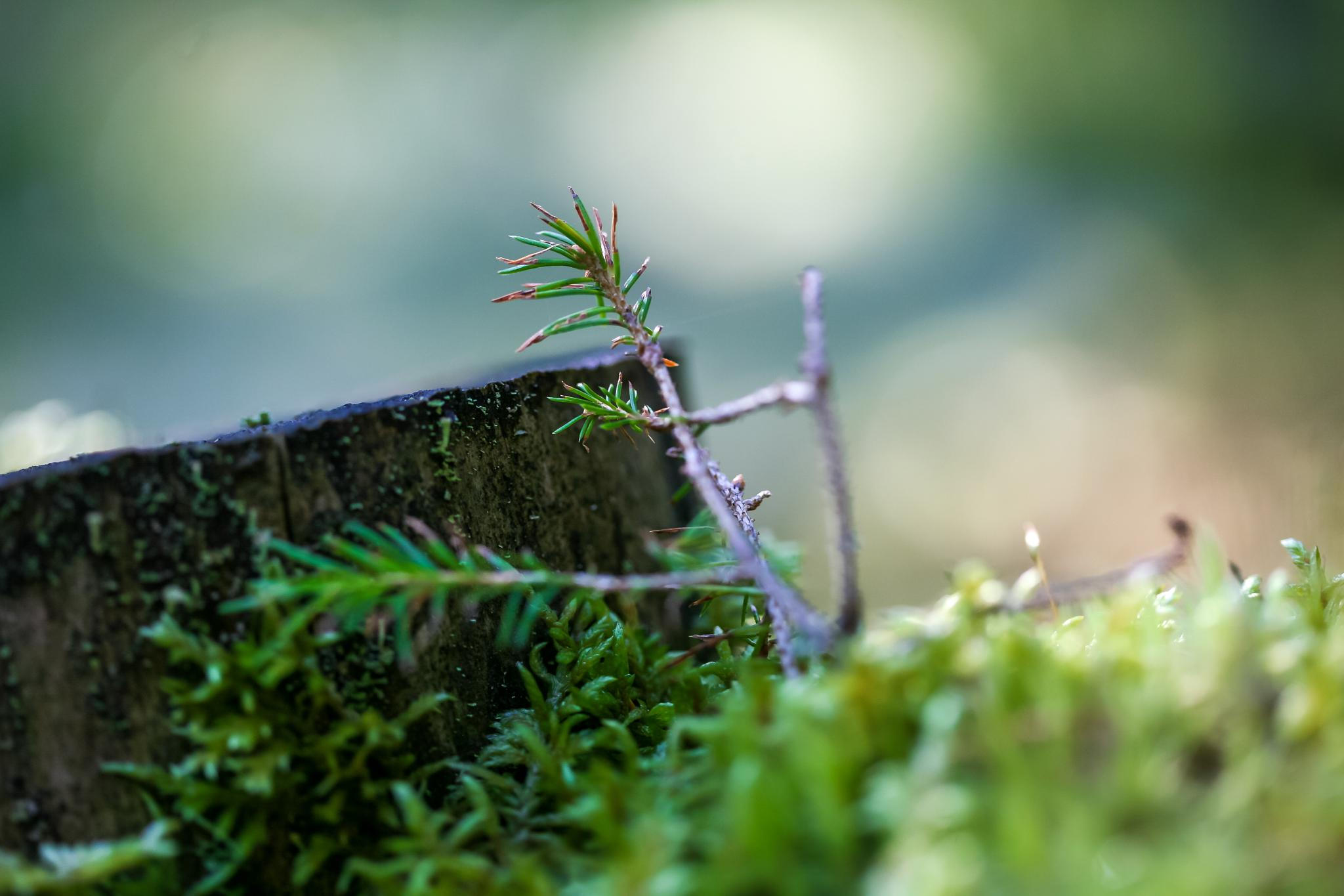 The stump and the little fir twig by mikael.breding
