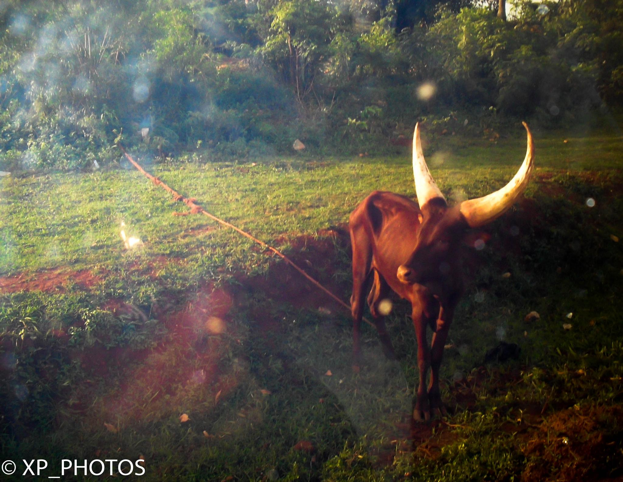 Ugandan Longhorn Cow by XavierPepler