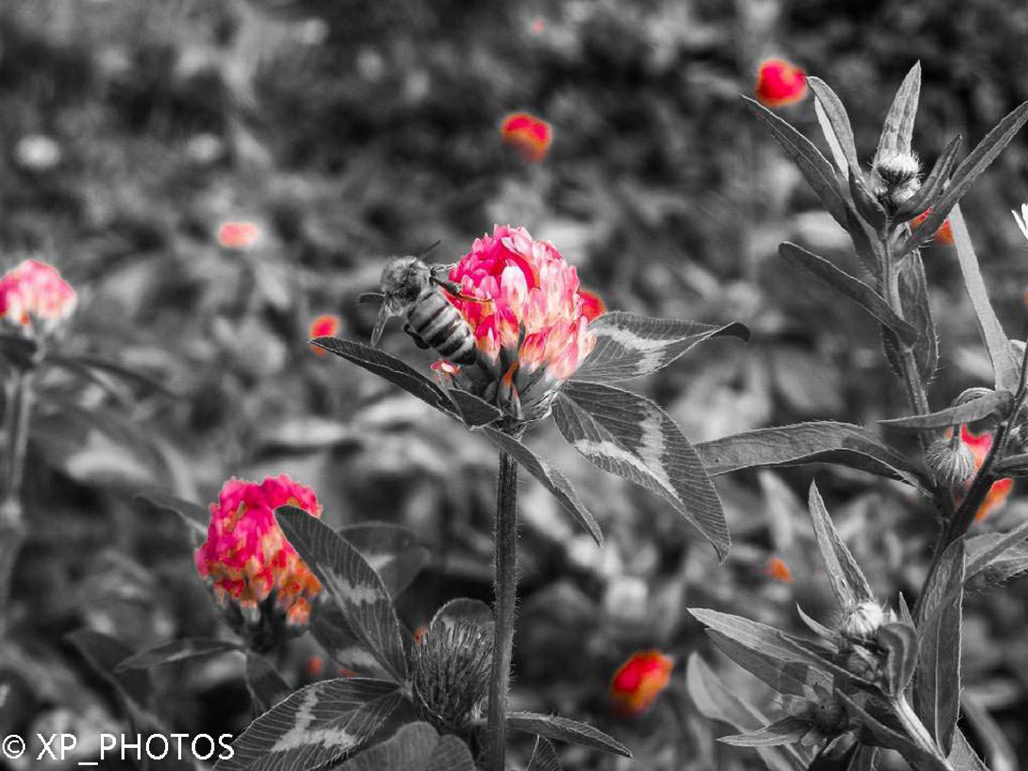 Bee on a Flower by XavierPepler