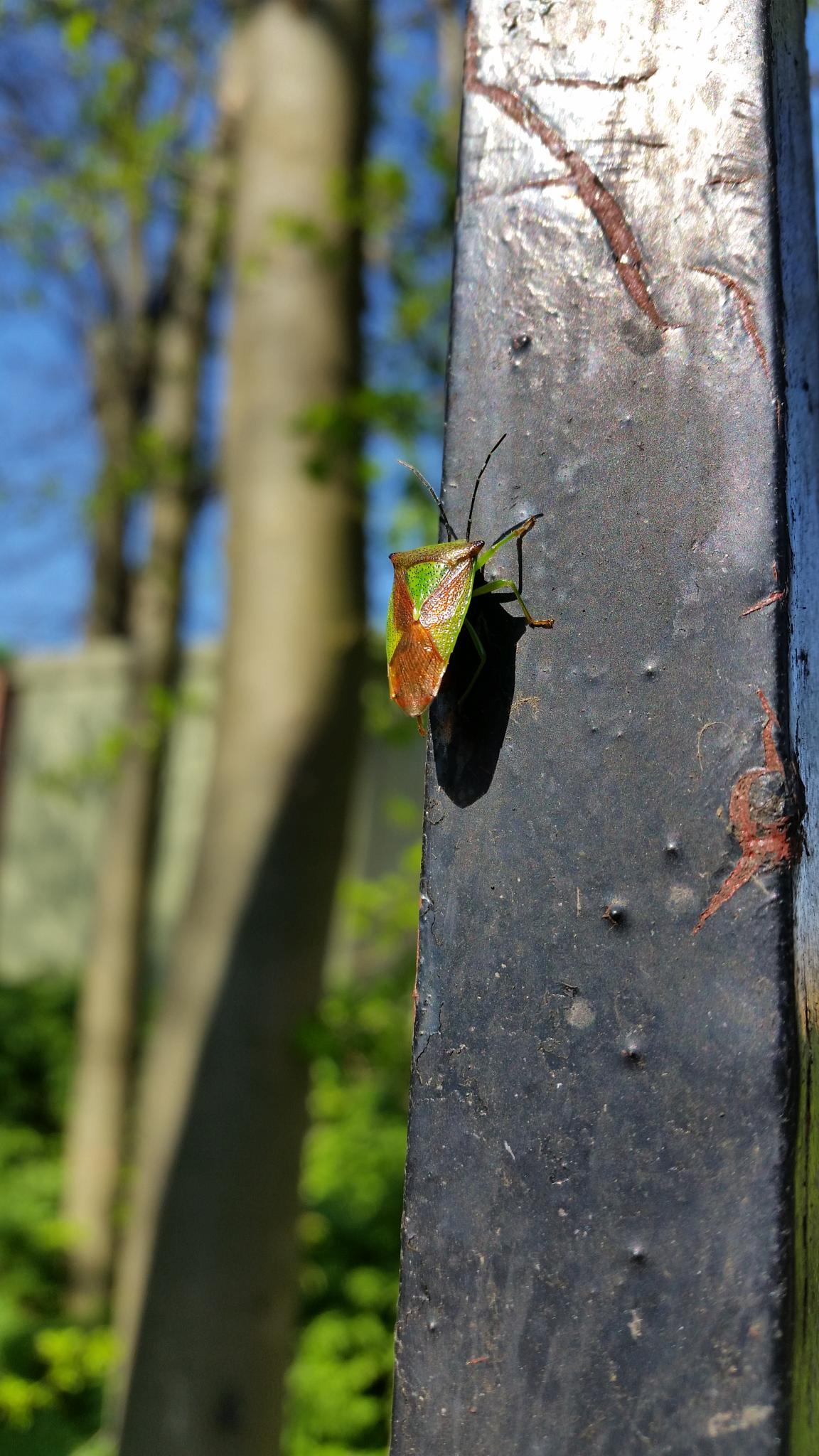 Shield Bug by nigelkibble2