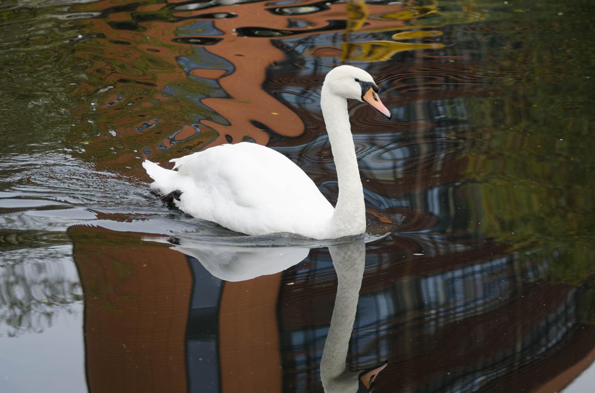 Swan by nigelkibble2