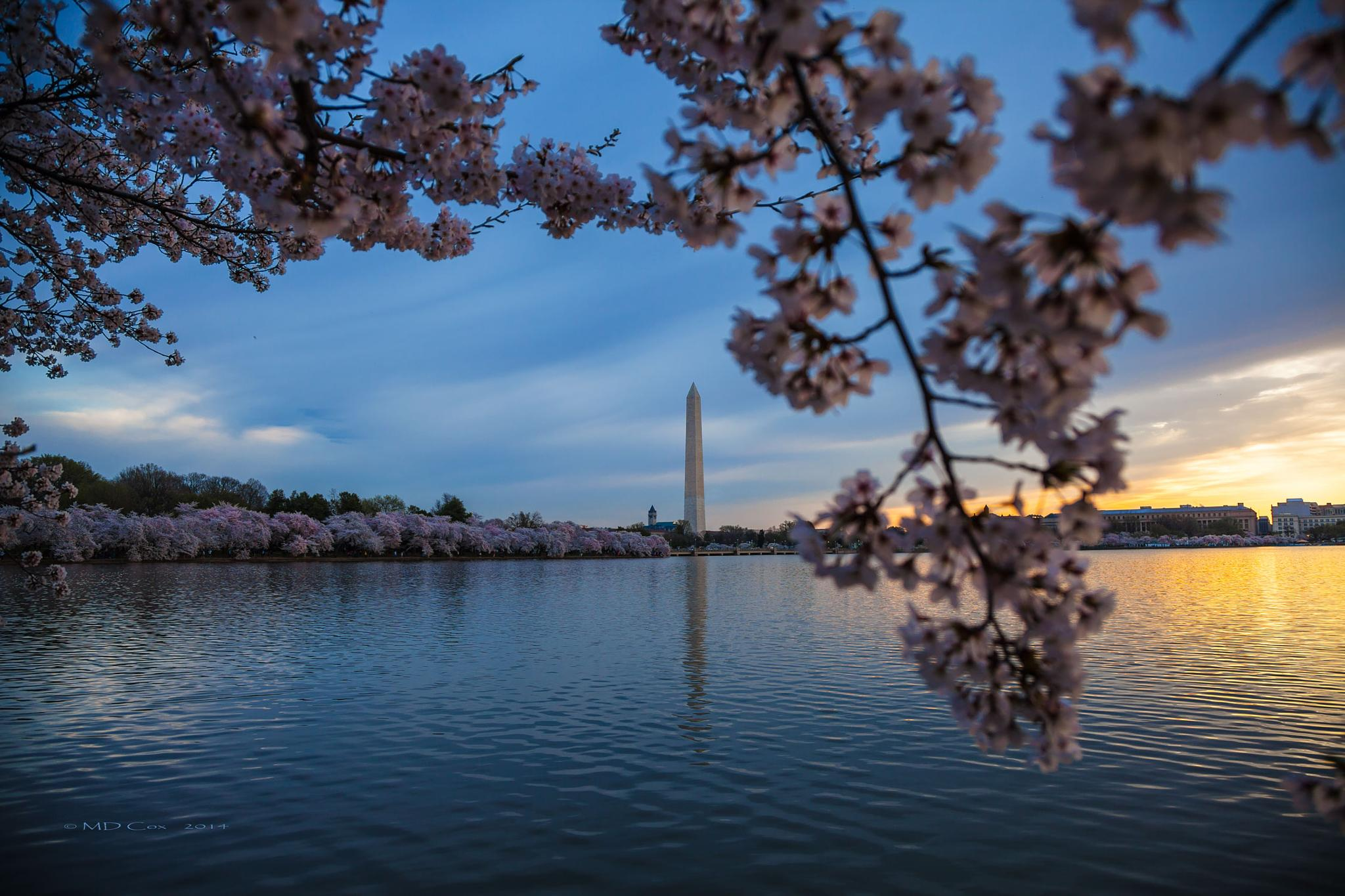 Cherry Blossoms in D.C. by Michael Cox