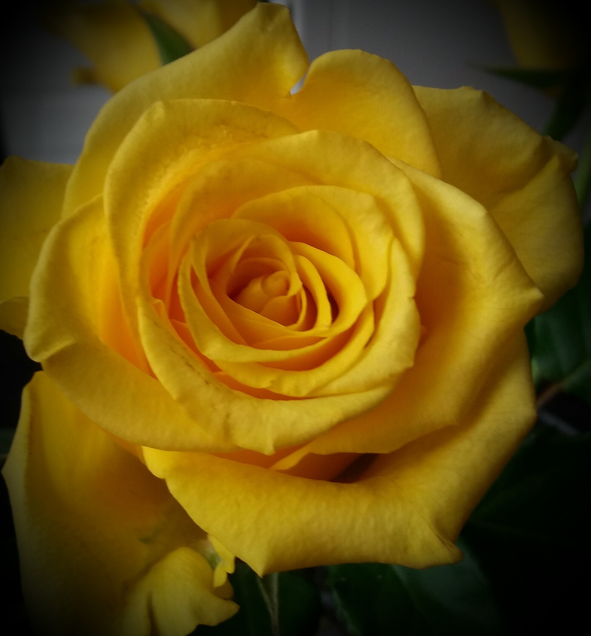 My yellow rose by AnnSoul