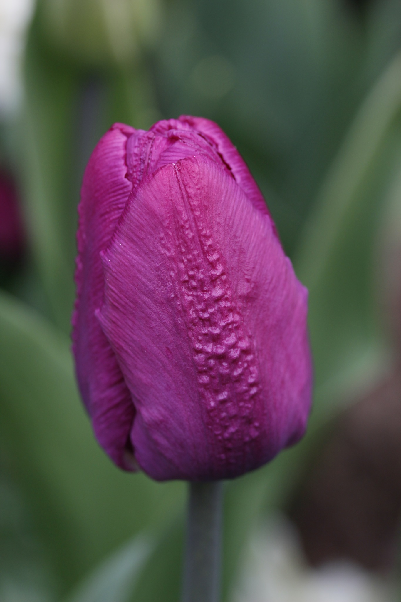 Pink tulip  by tranaker