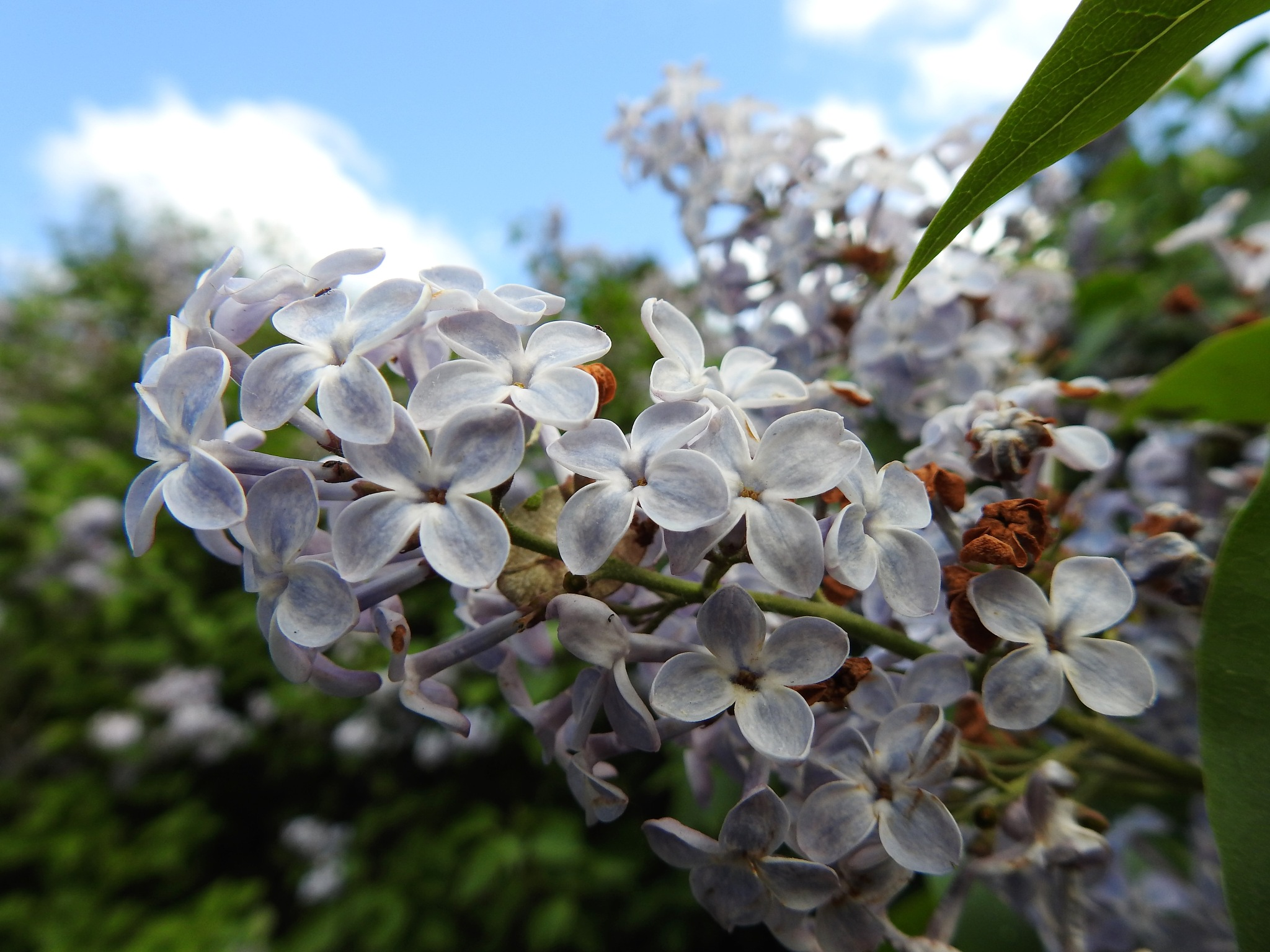 lilac  by tranaker