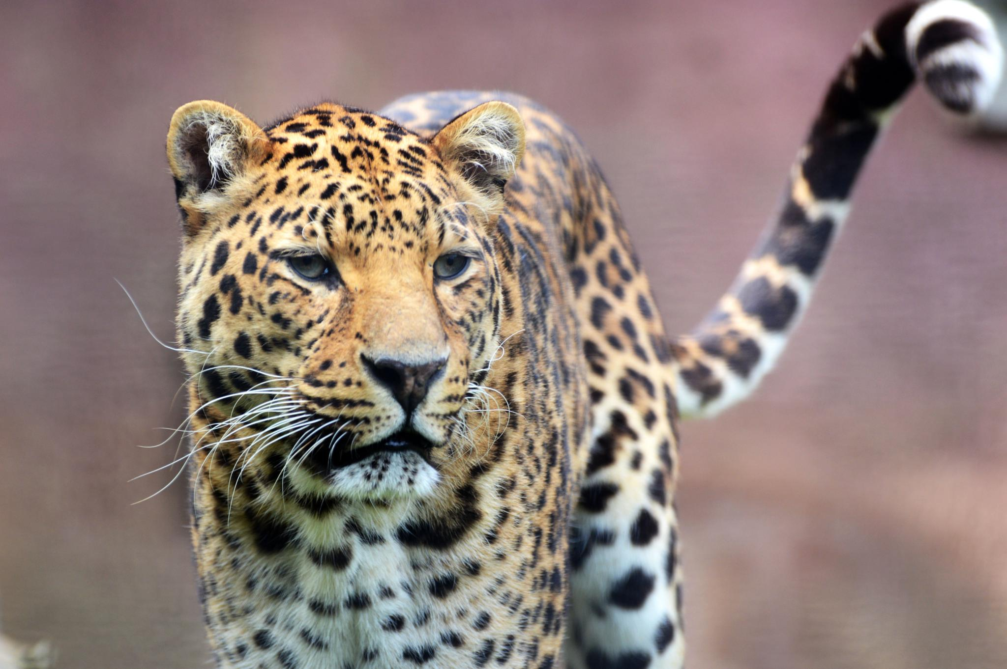 Jaguar by HaraldMeert