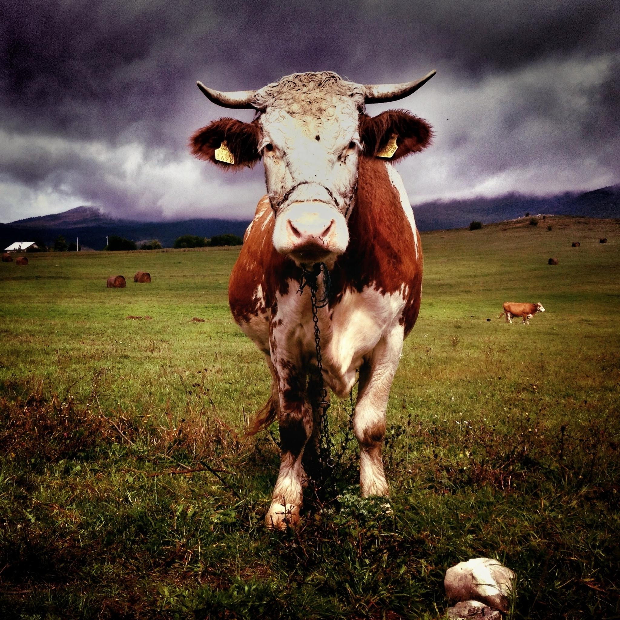 Mooo! by Arnold Finderle