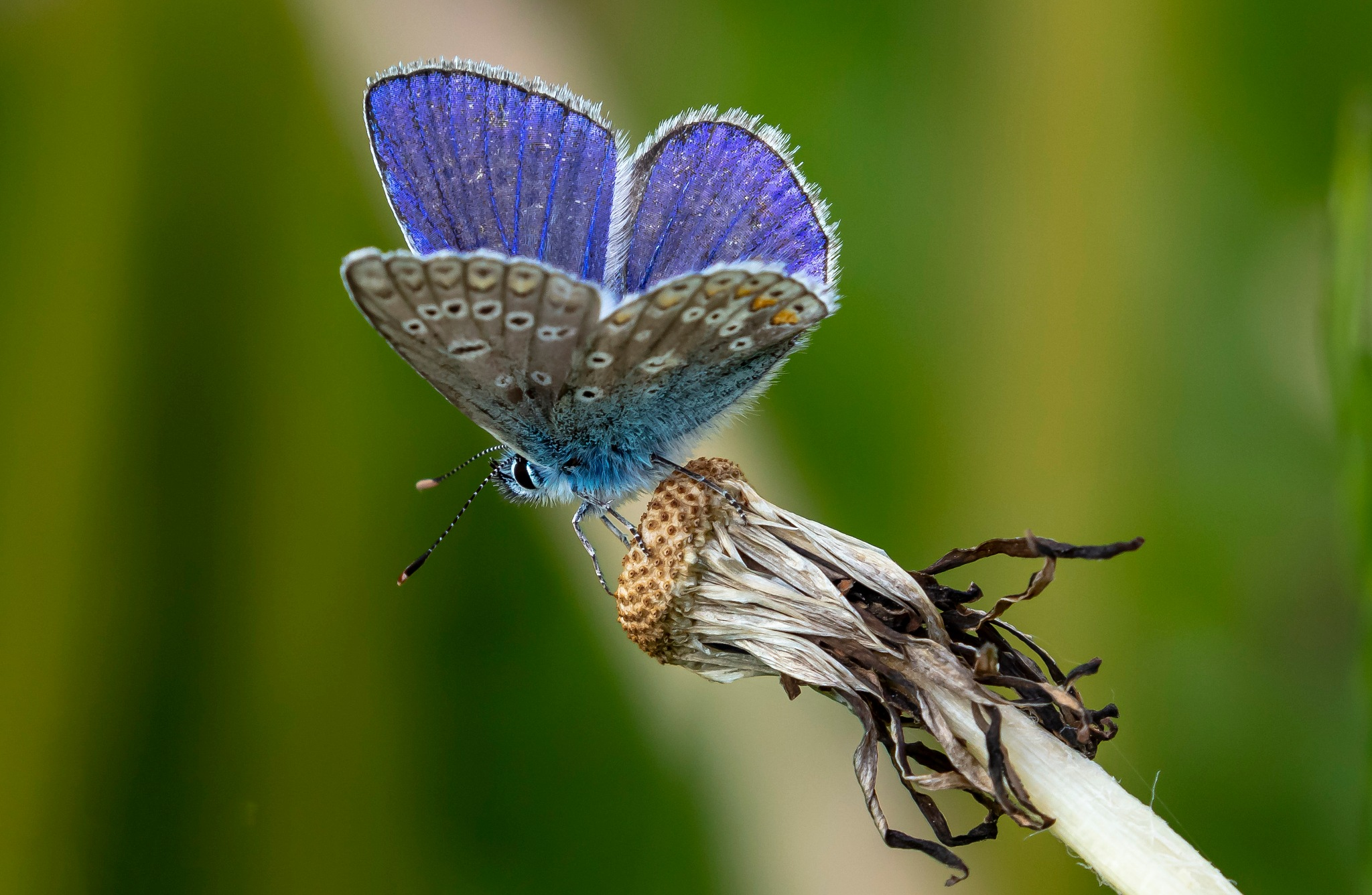 Common Blue /Polyommatus icarus by Kent Bredahl