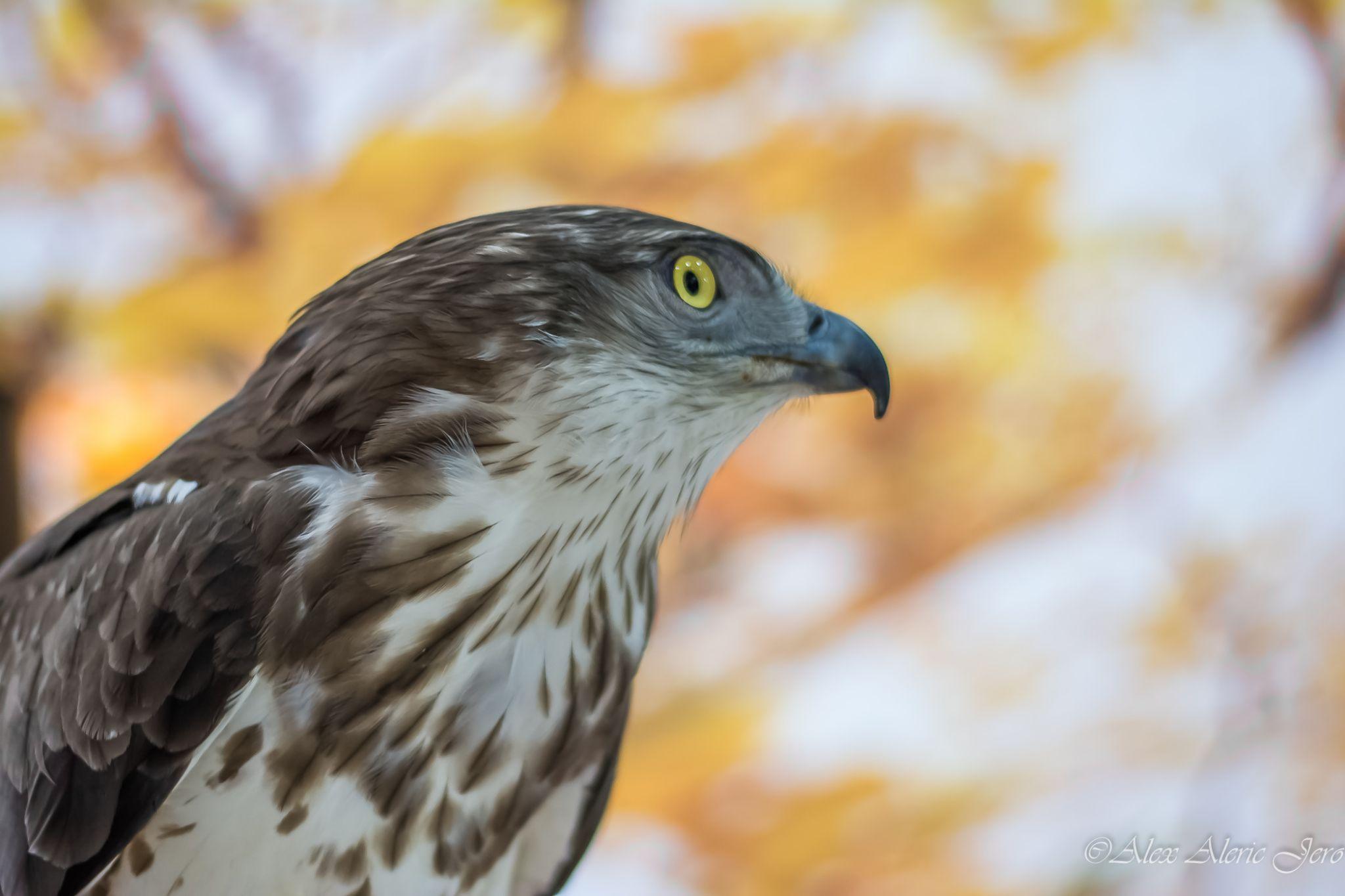 Falcon by alexaldericjero