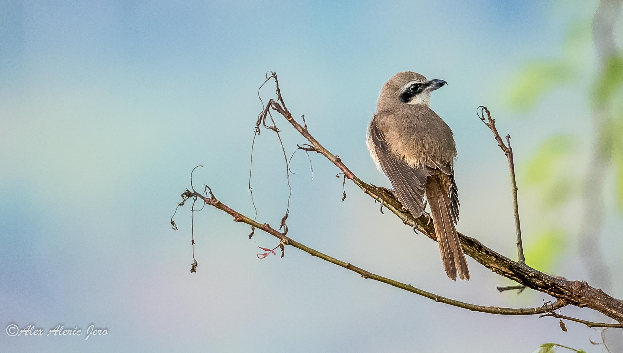 Brown Shrike by alexaldericjero