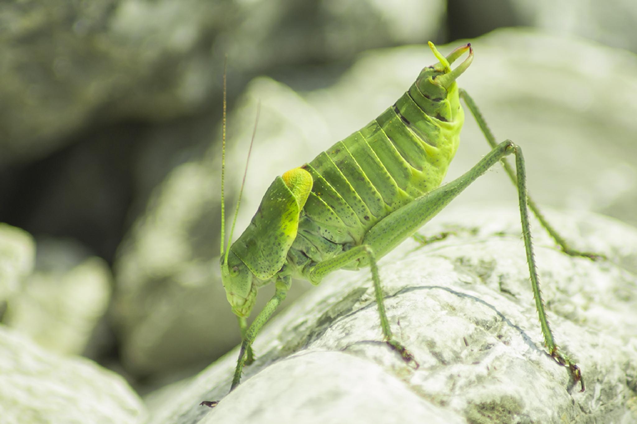 Grasshopper by mugurelcm