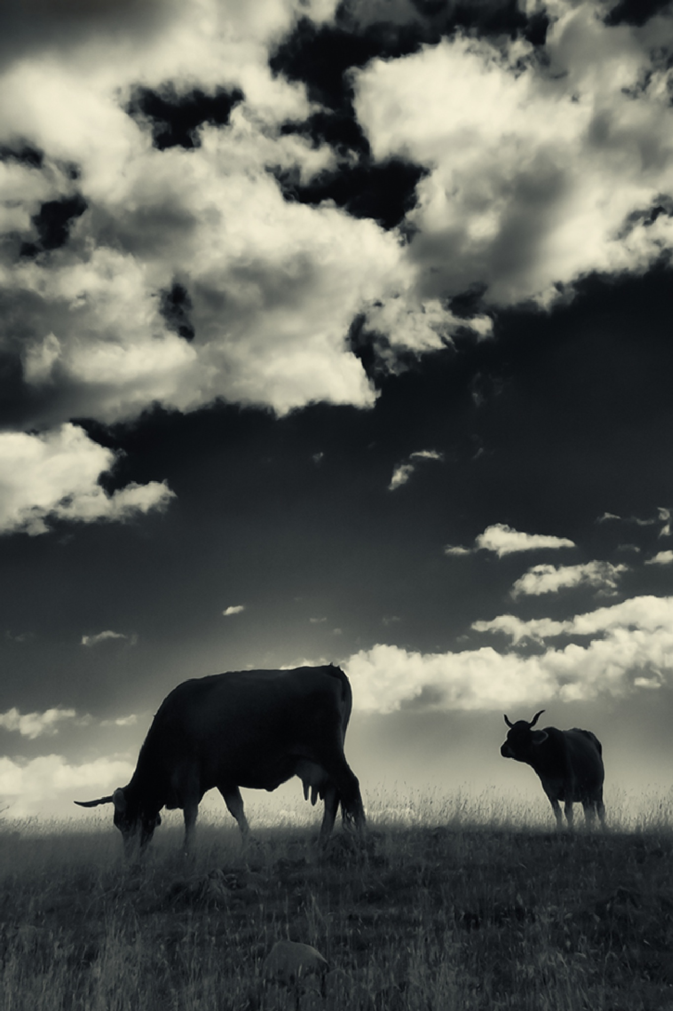 Cows by mugurelcm