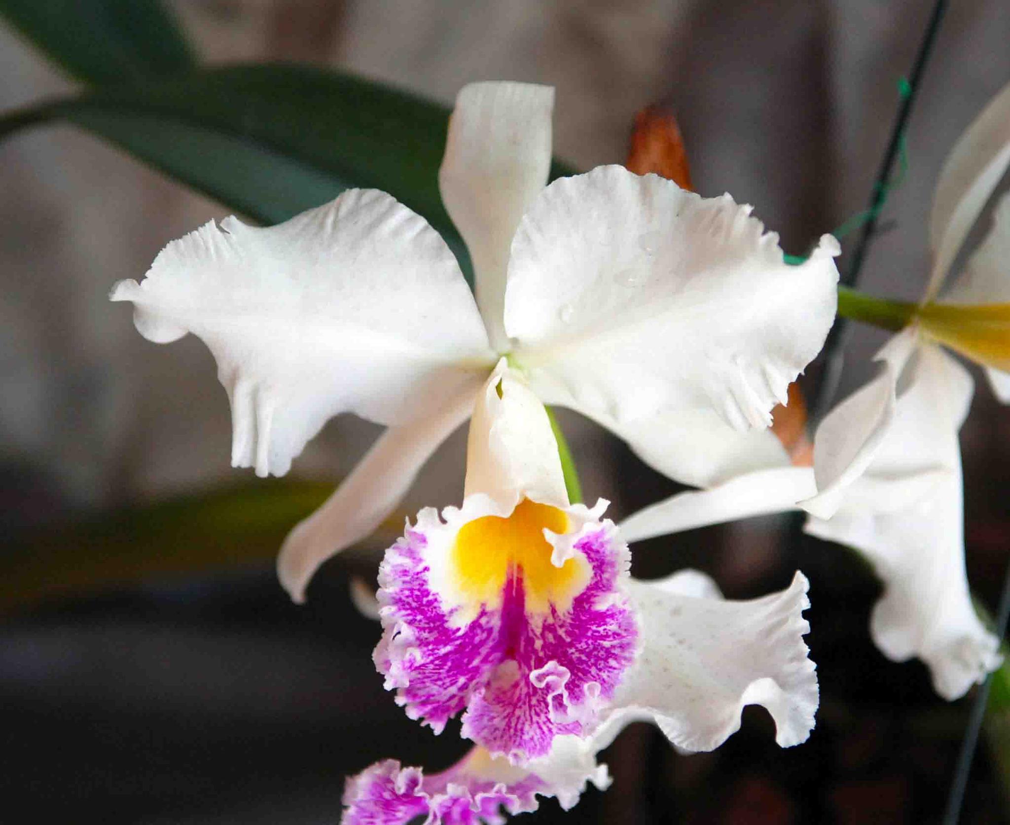 Orquídea -foto de juna fard by juna fard