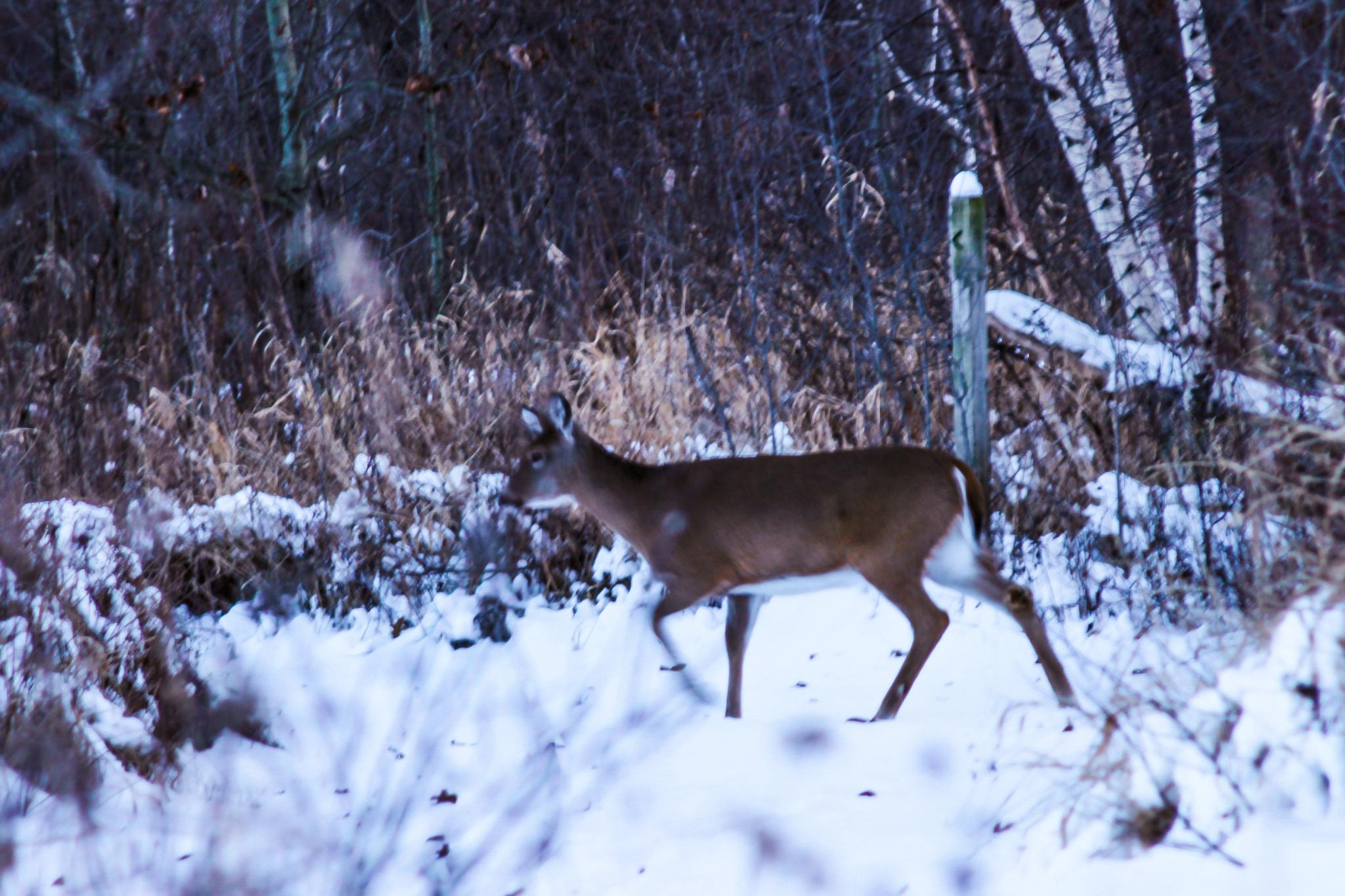 Deer following path marker as a good deer should. by CDH3Photography
