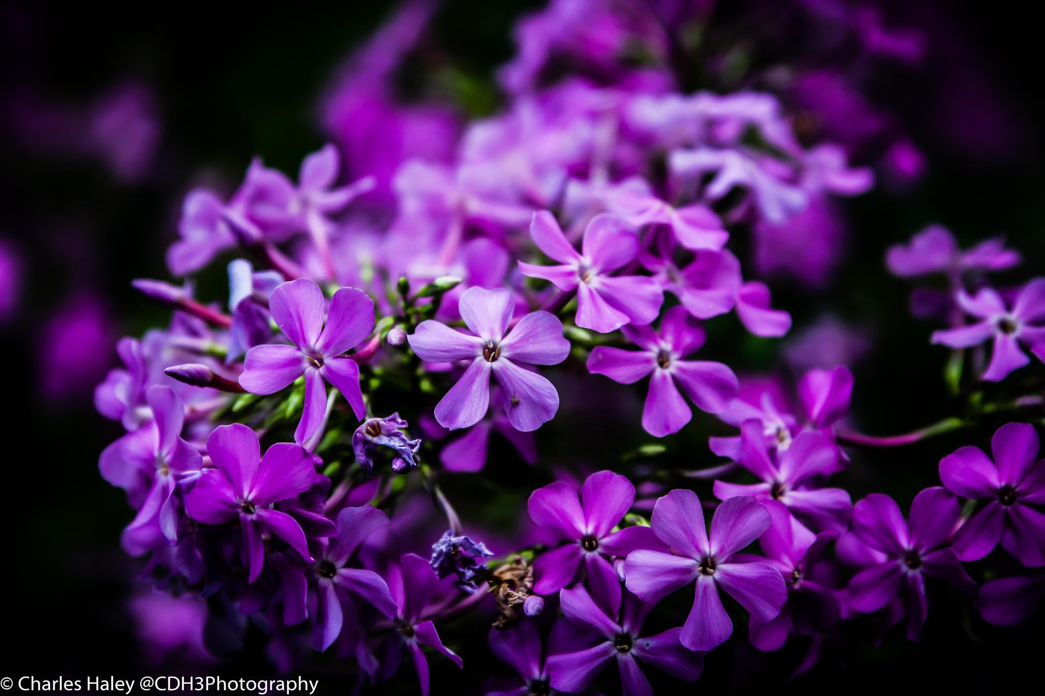 Purple Perennials  by CDH3Photography