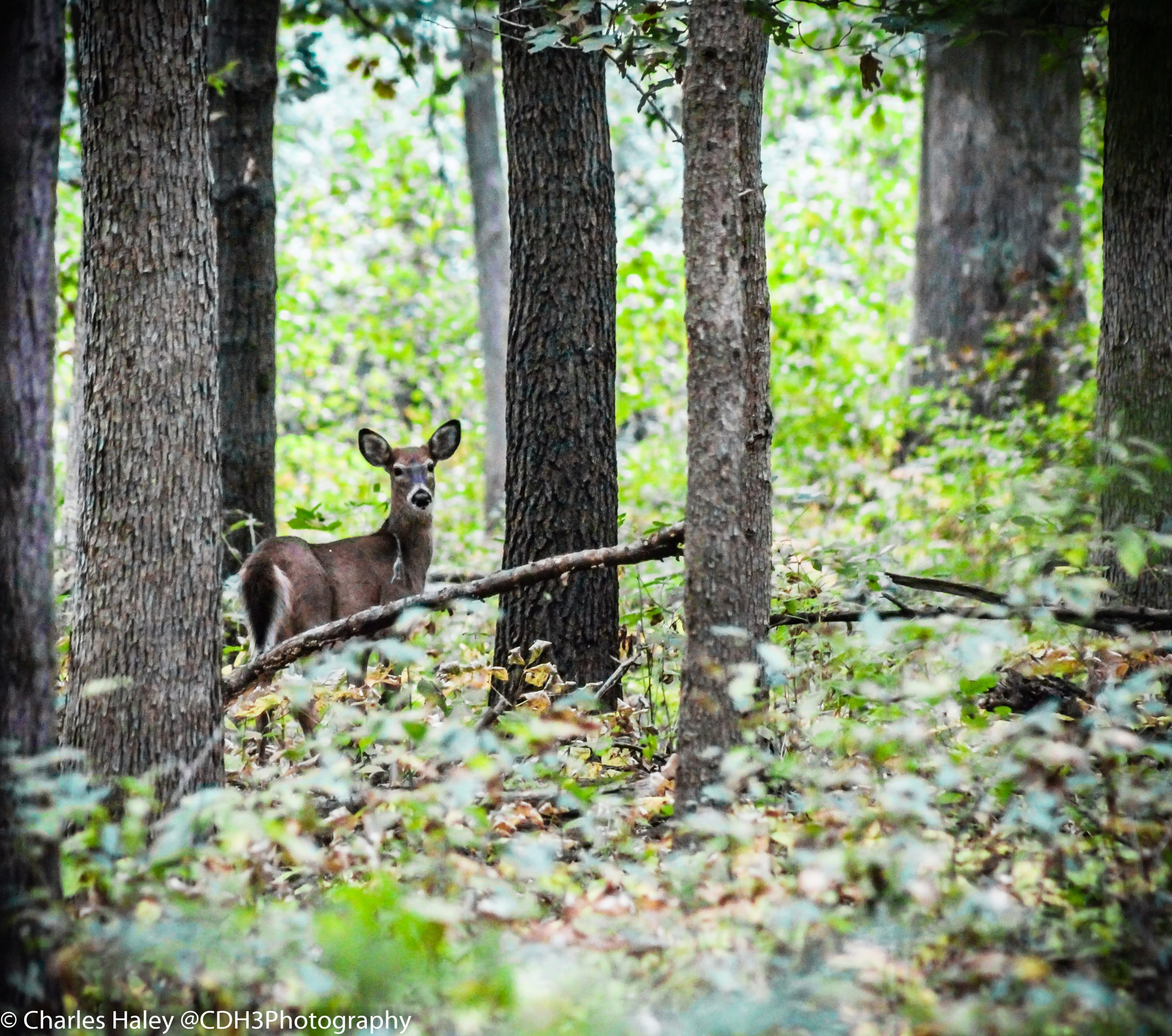 Whitetail Deer by CDH3Photography