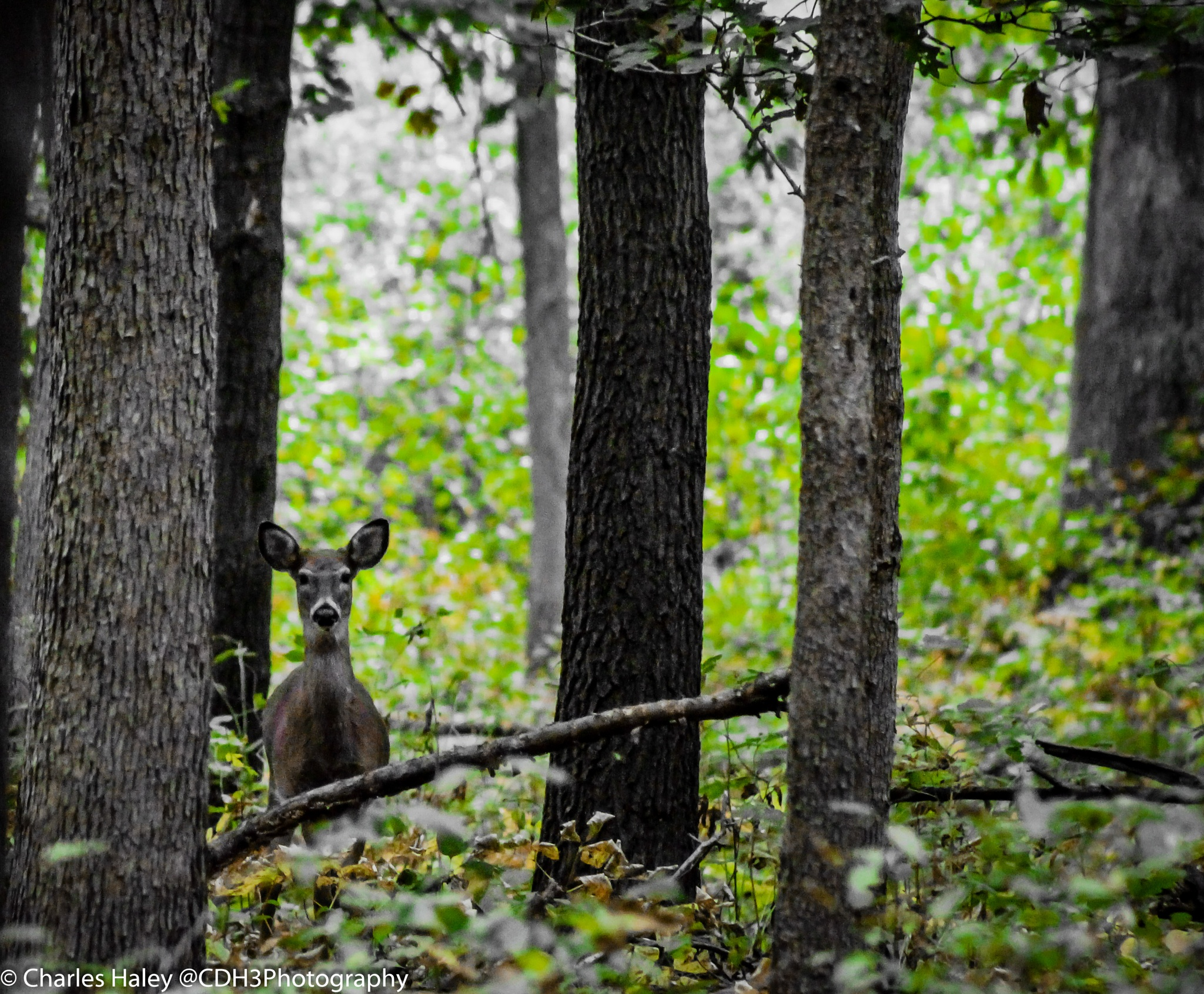 Hello there deer! by CDH3Photography