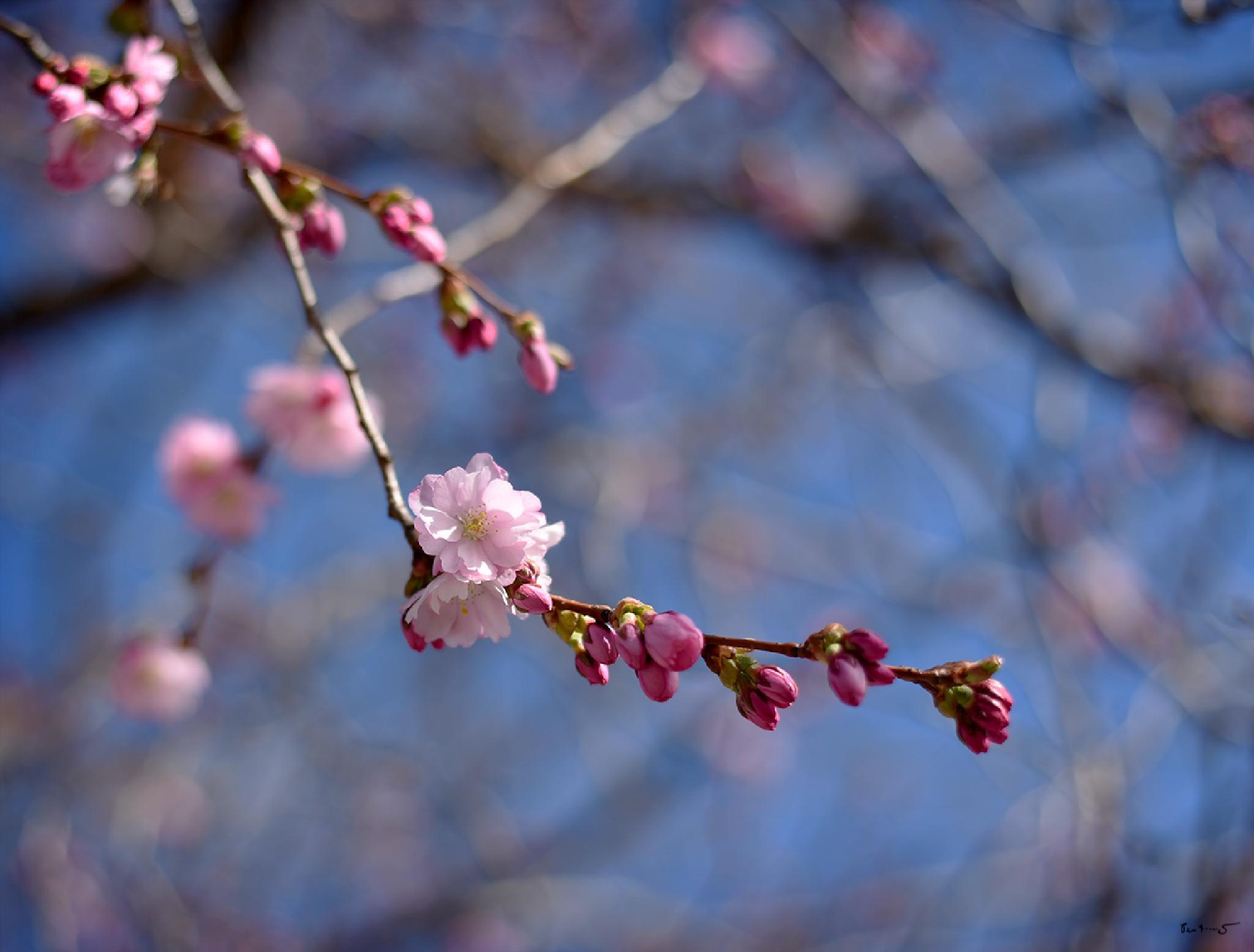 Cherry blossom in the park by Per Arnesjö