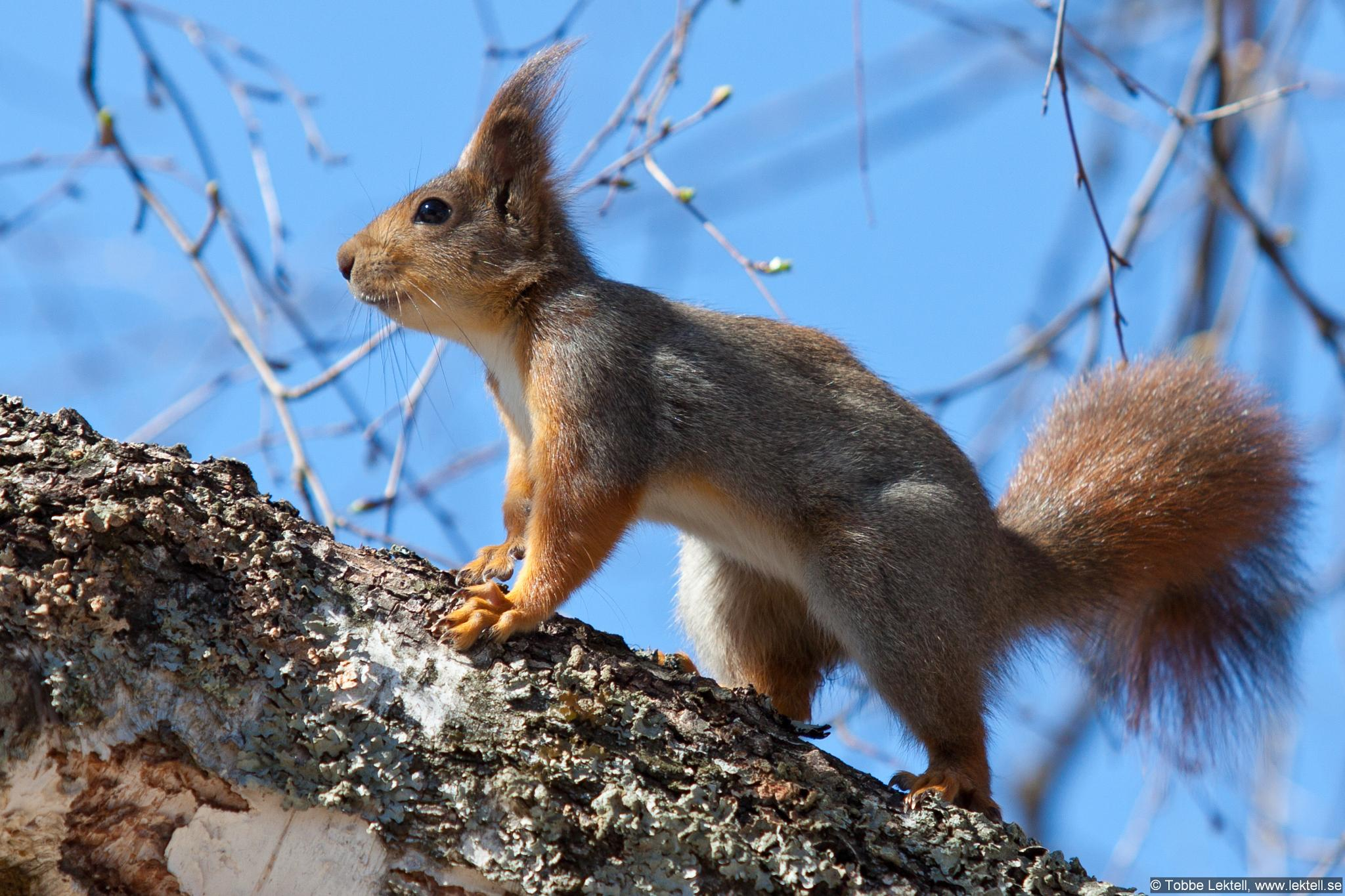Red Squirrel by tobbe.lektell