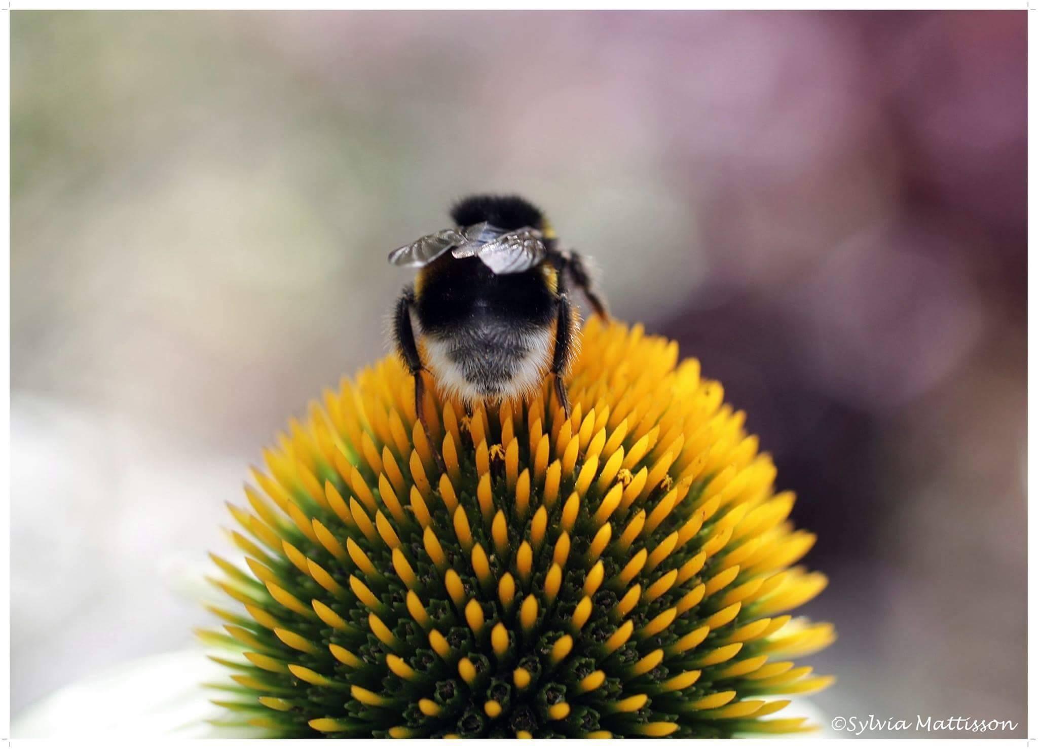 Bumblebee by Sylvia Mattisson