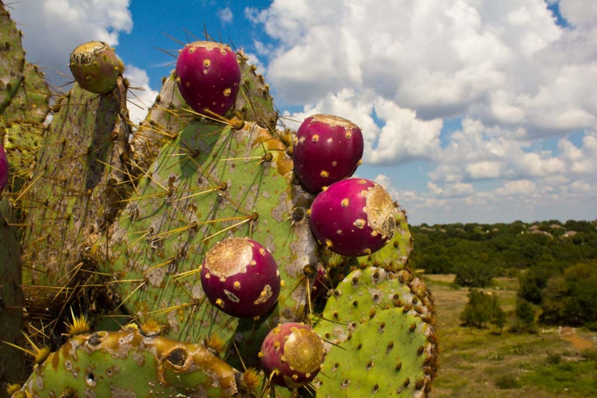 Prickly Pear Cactus by Michael Hines