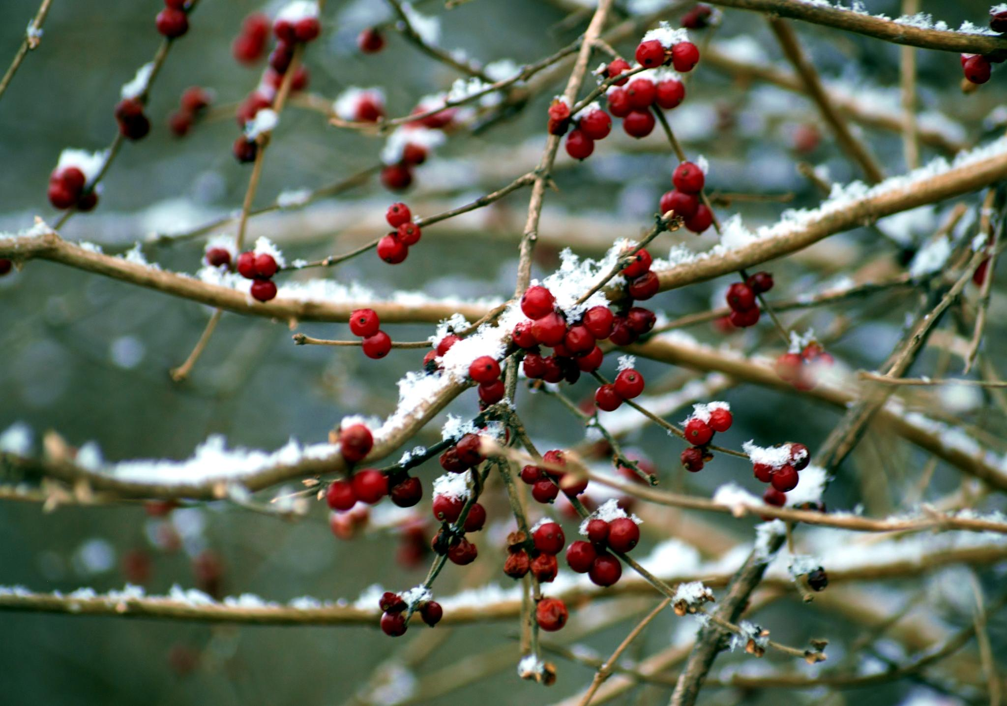 Berry Winter by KarynG