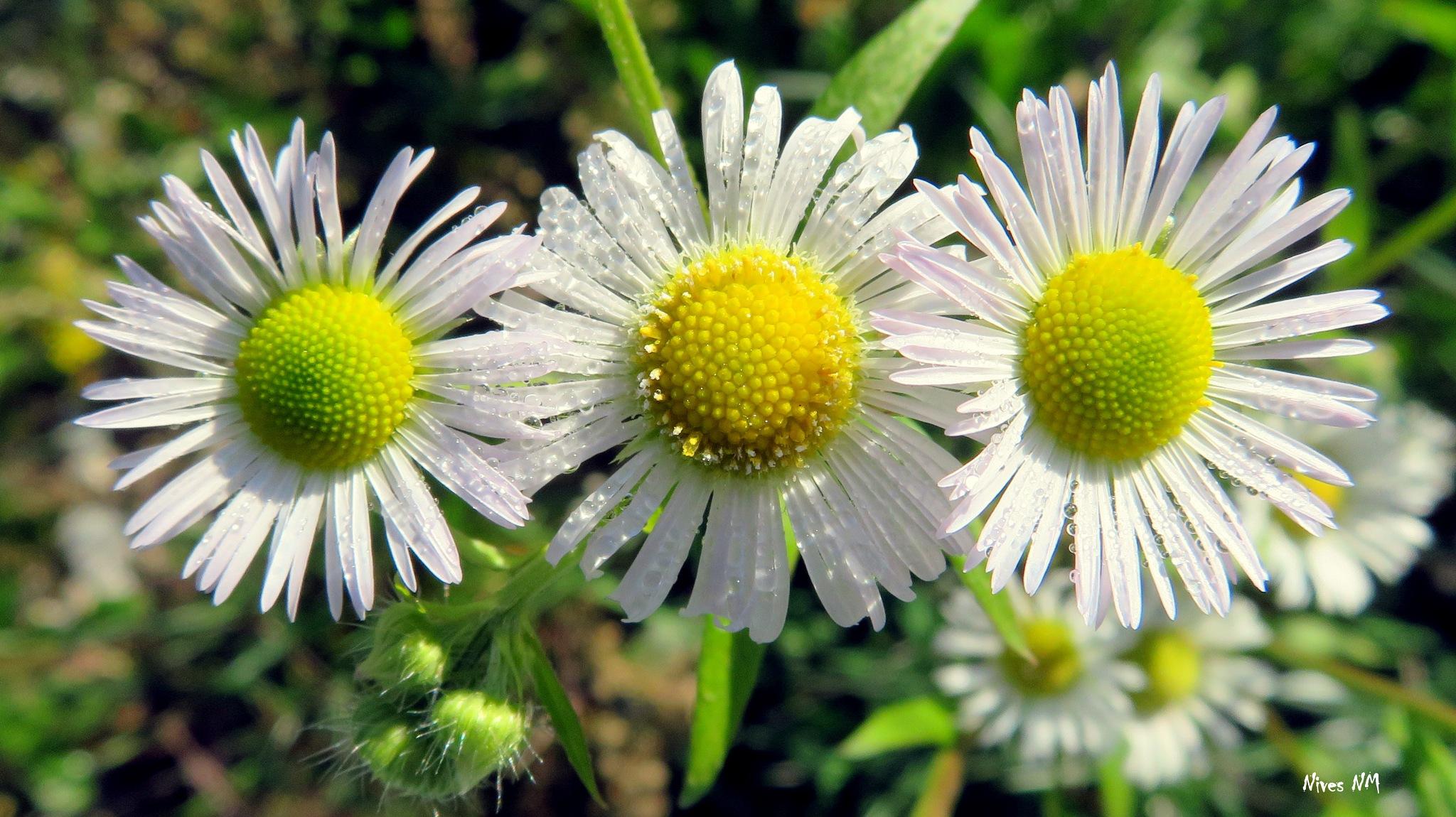 three roe daisies by nives.n.marusic