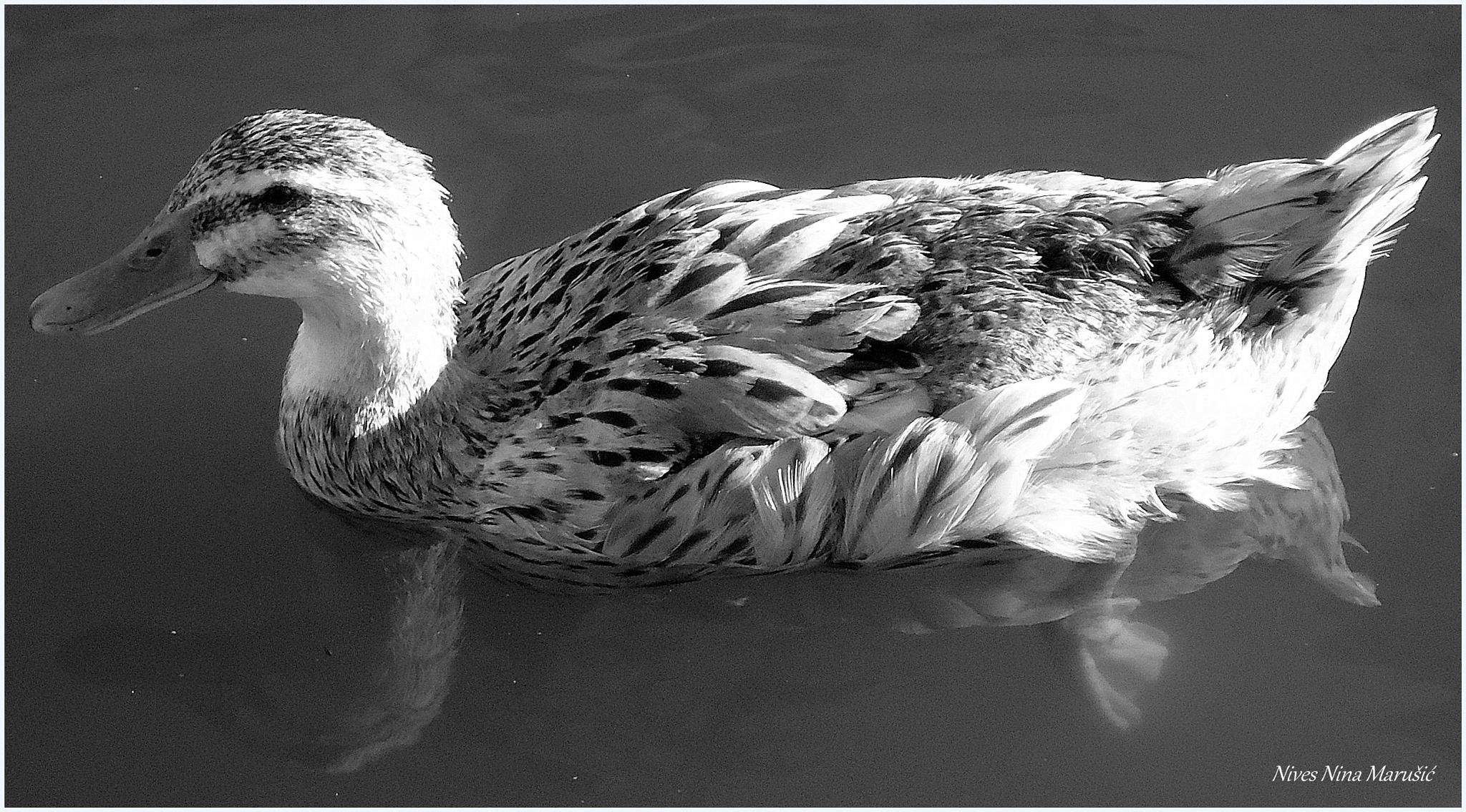 duck by nives.n.marusic