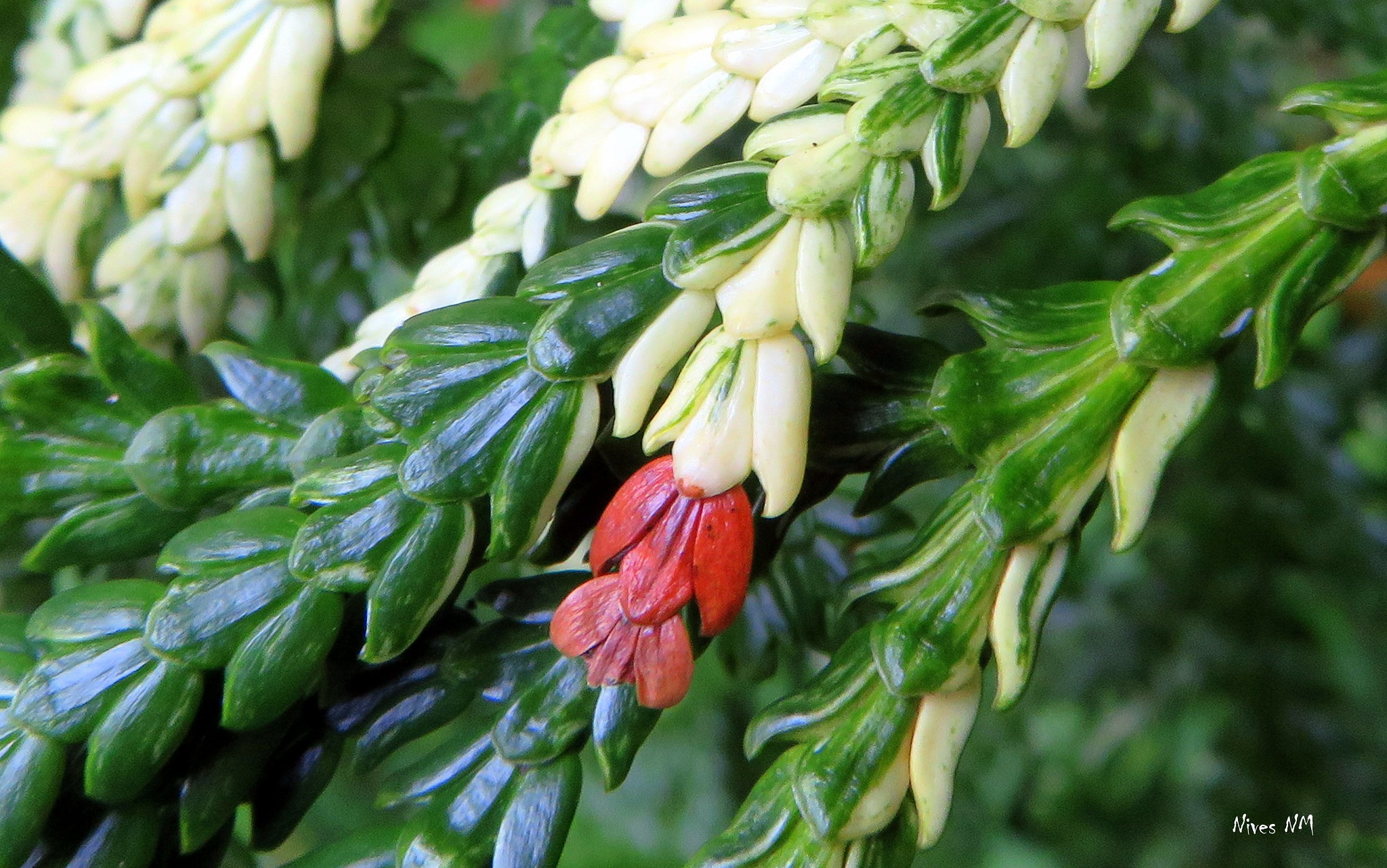 Thuja occidentalis by nives.n.marusic
