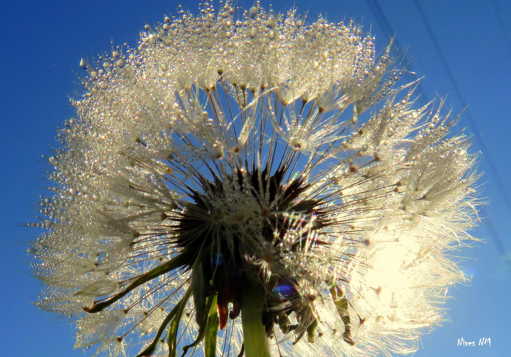 morning dewy dandelion by nives.n.marusic
