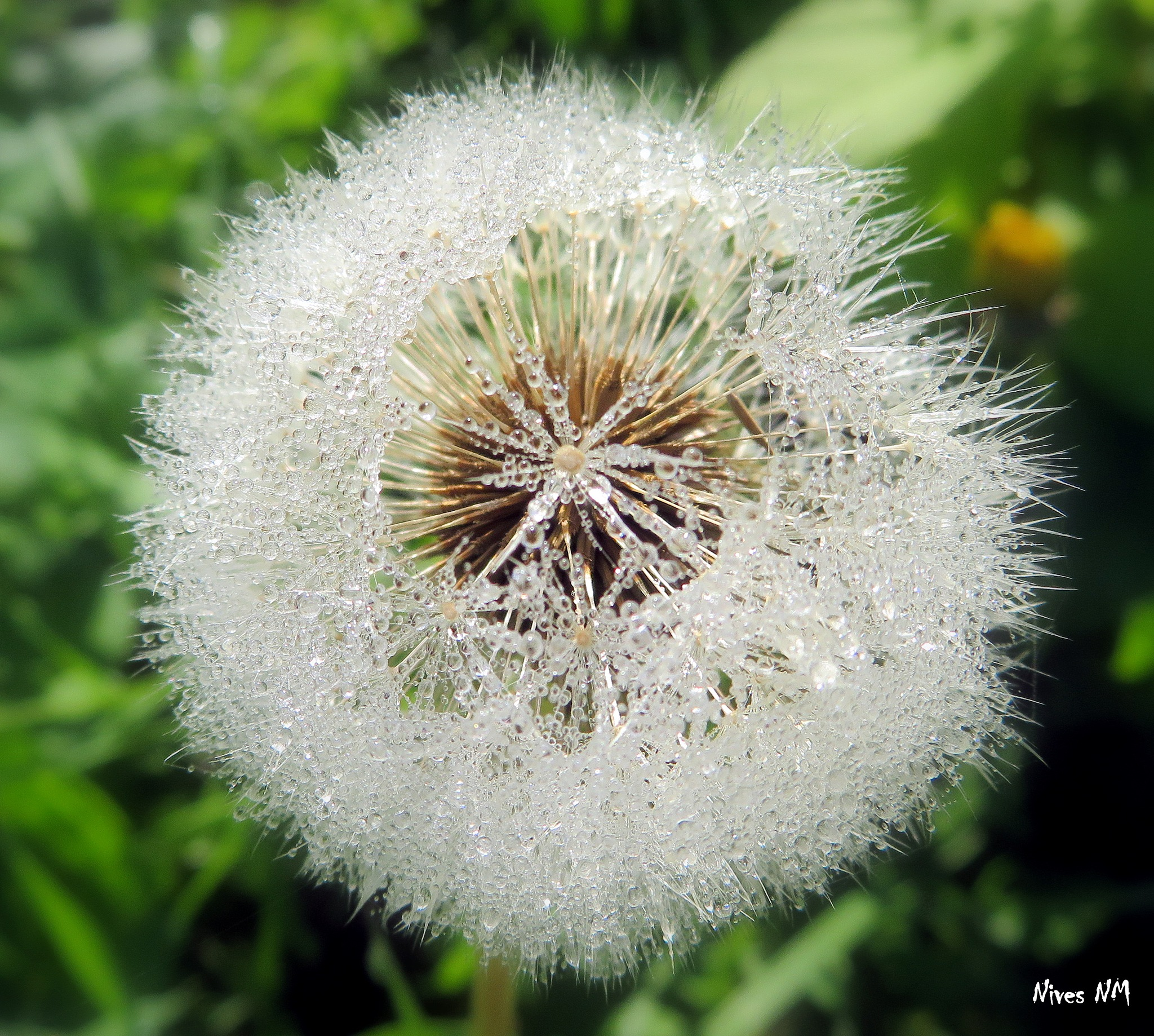 dewy dandelion by nives.n.marusic