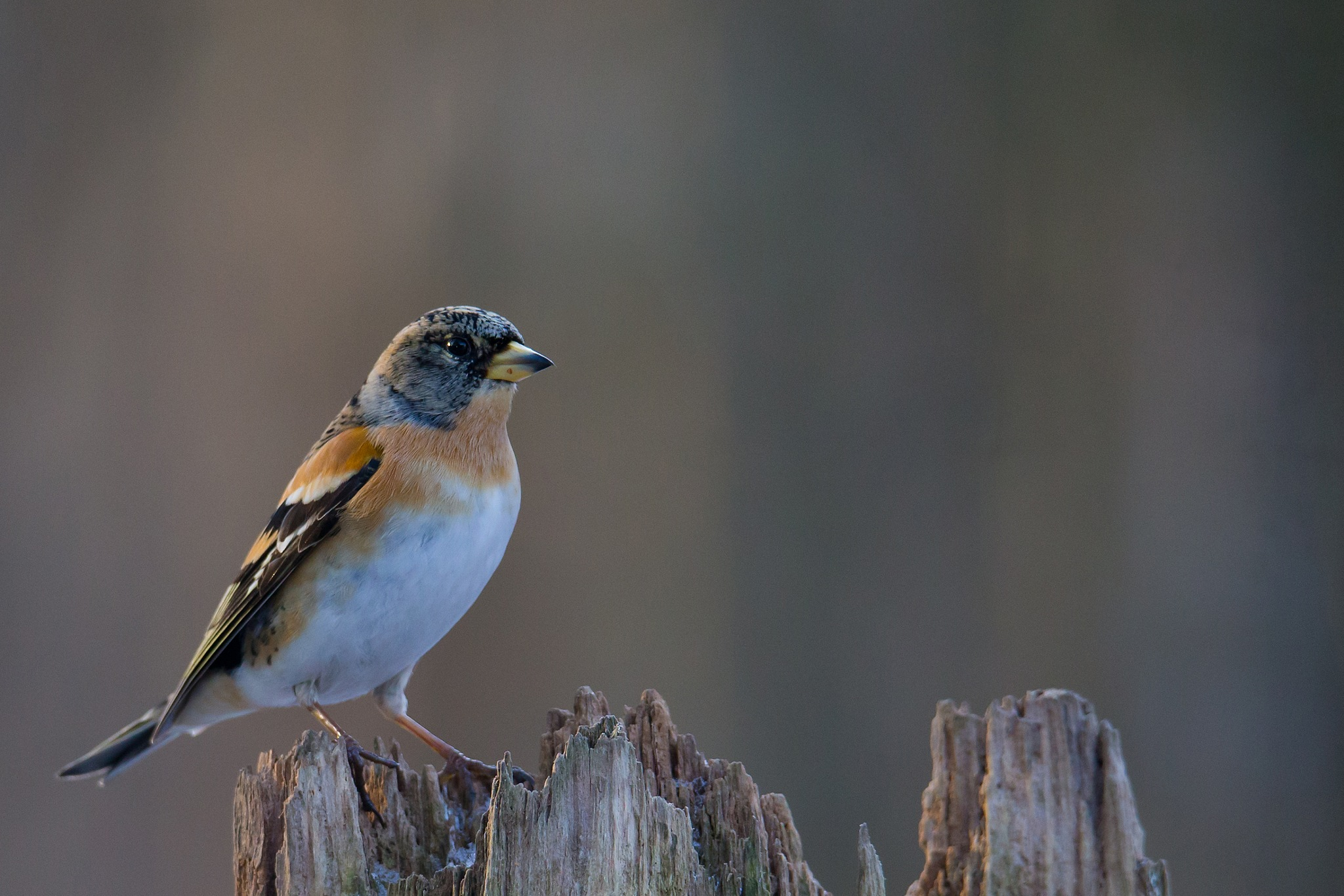Brambling by Mikael Nilsson Photography