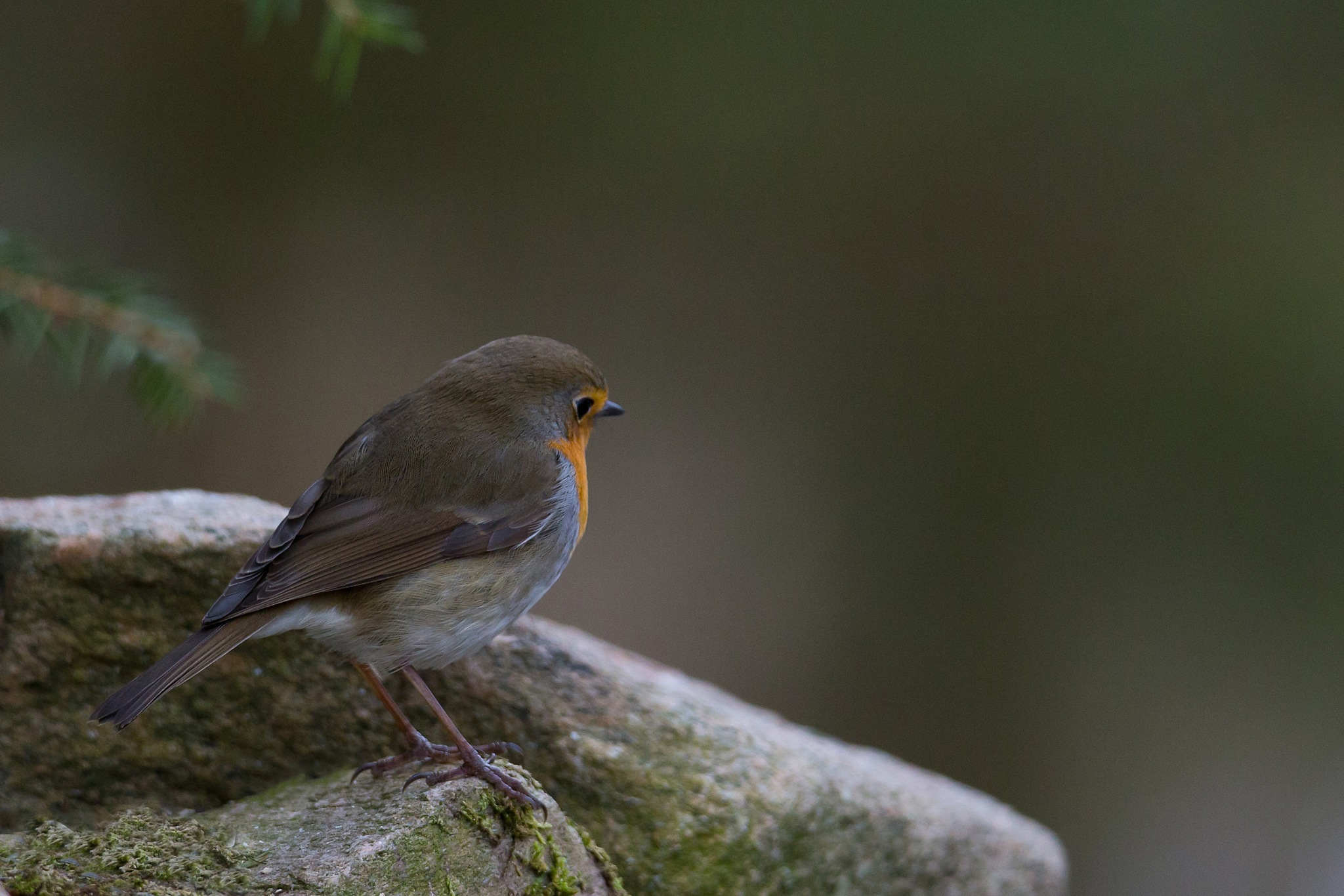 Robin by Mikael Nilsson Photography