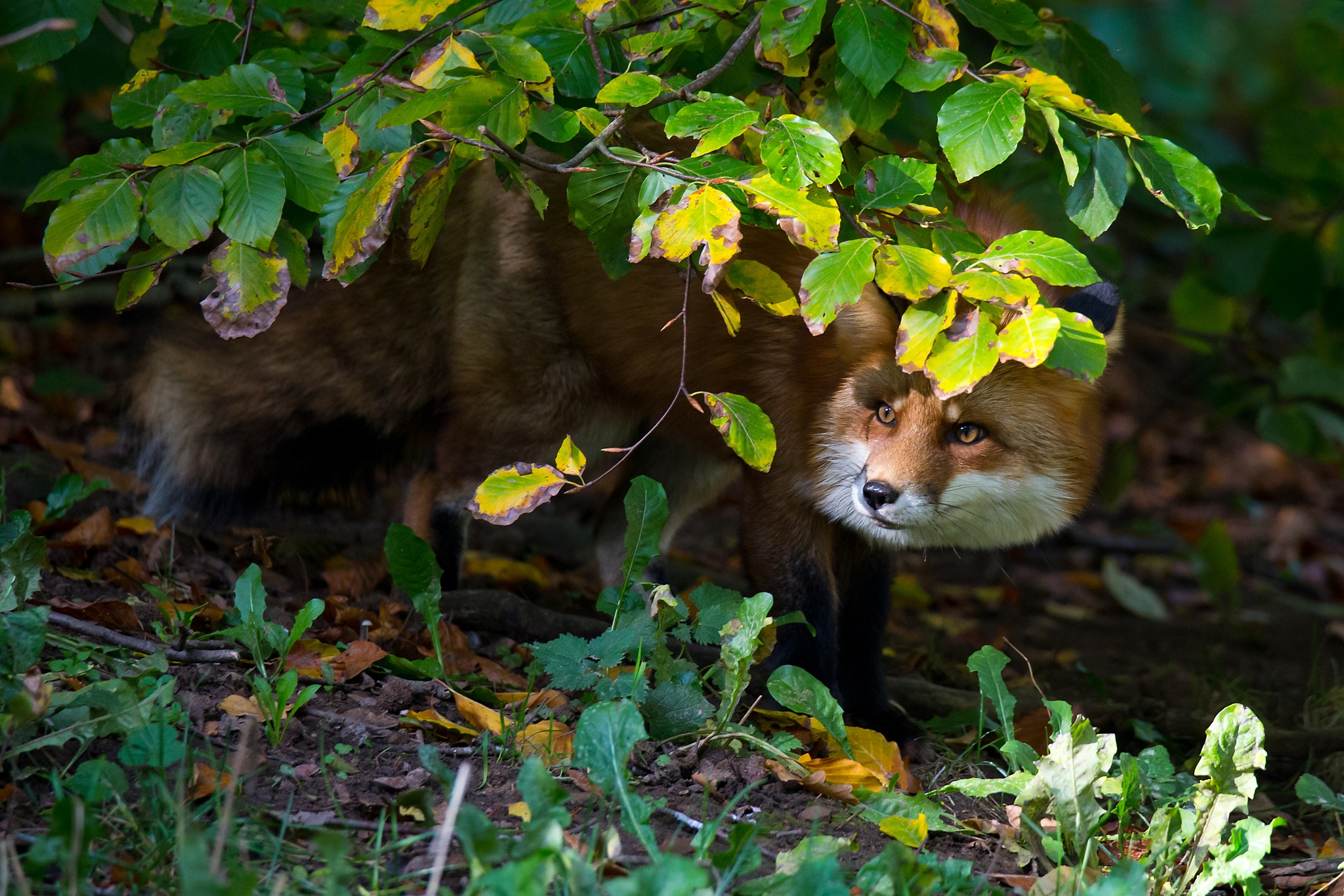 Red Fox by Mikael Nilsson Photography