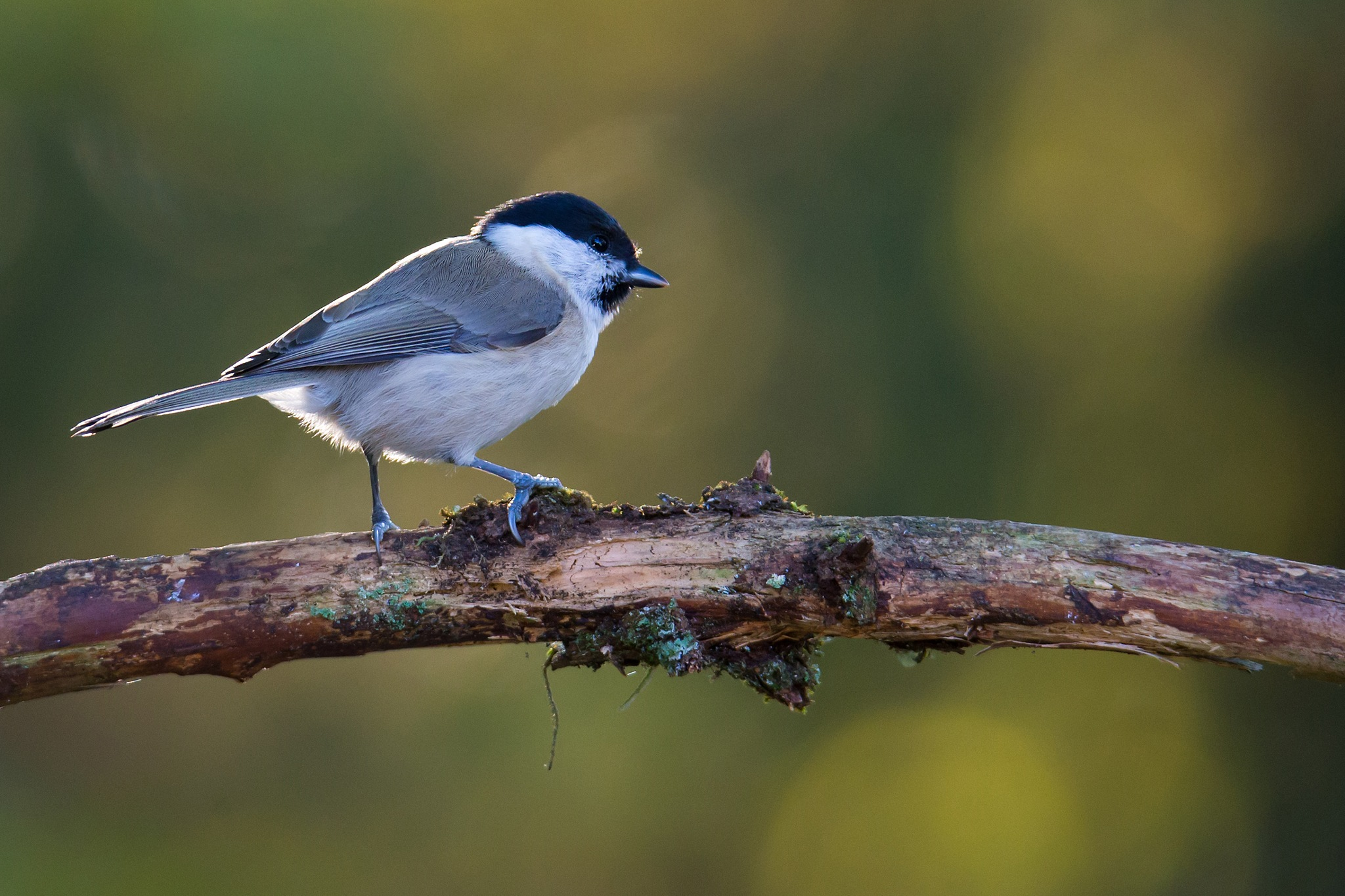 Marsh tit  by Mikael Nilsson Photography