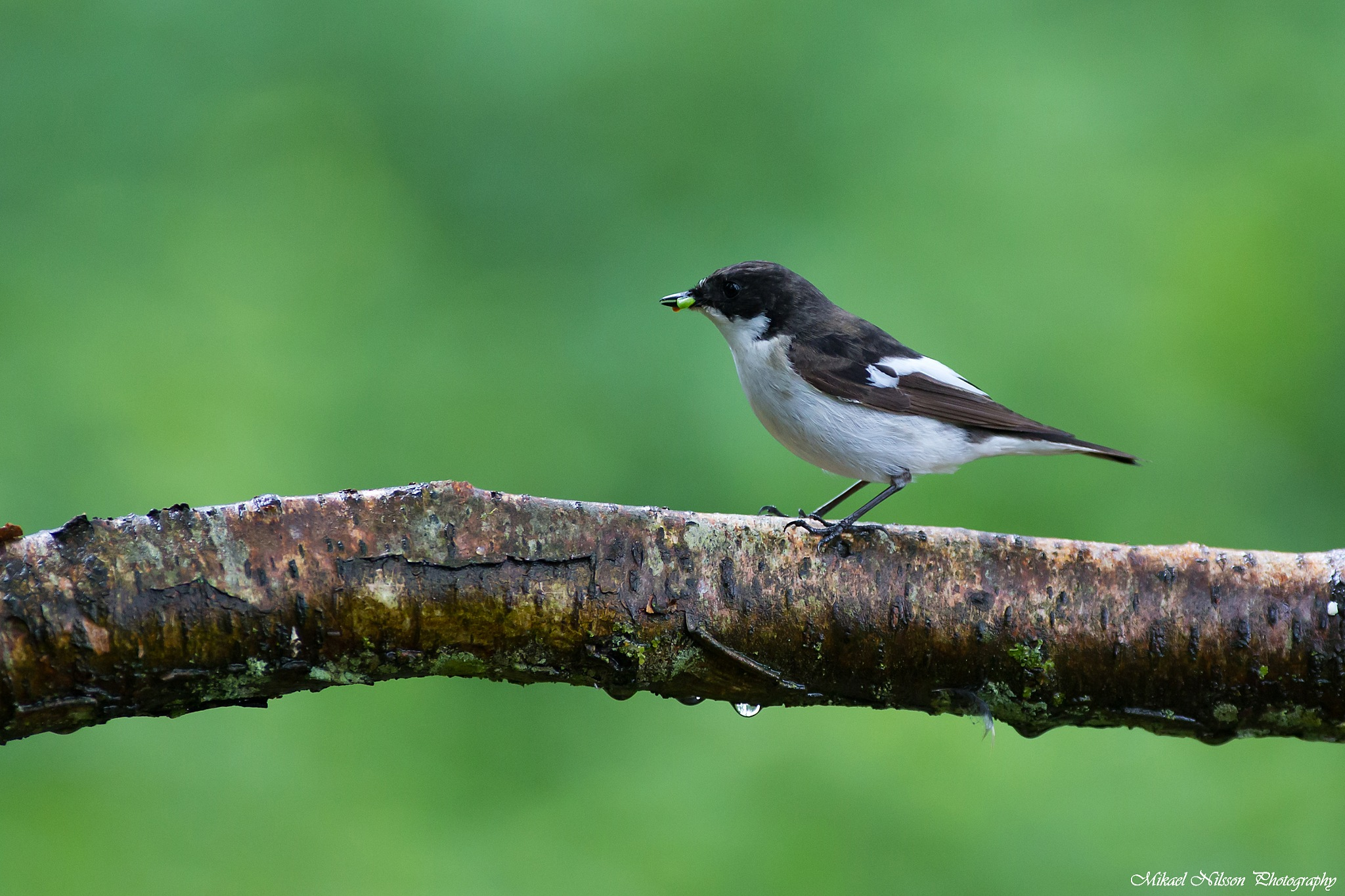 European pied flycatcher  by Mikael Nilsson Photography