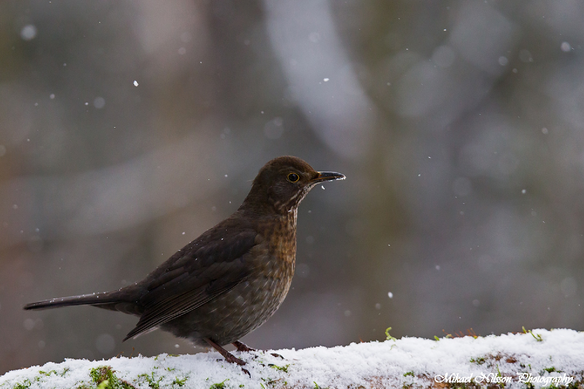 Common blackbird (female) by Mikael Nilsson Photography