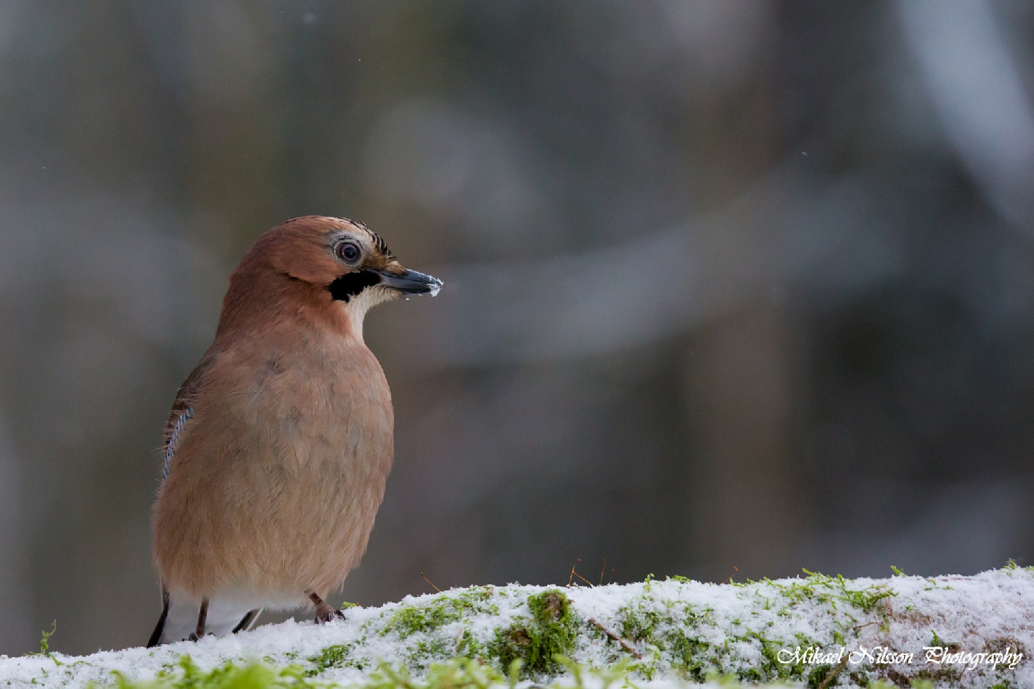 Eurasian jay in snow #2 by Mikael Nilsson Photography