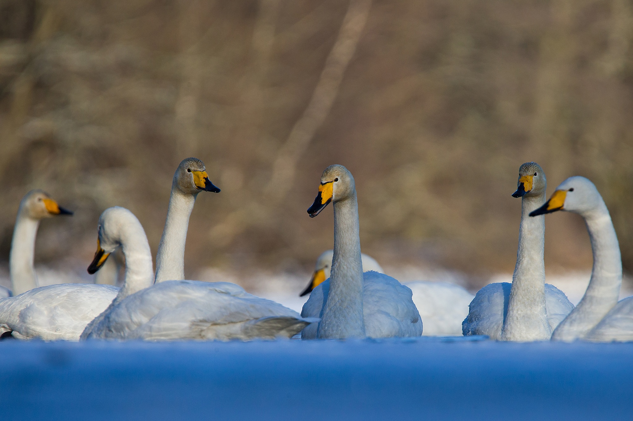 Swan meeting by Mikael Nilsson Photography