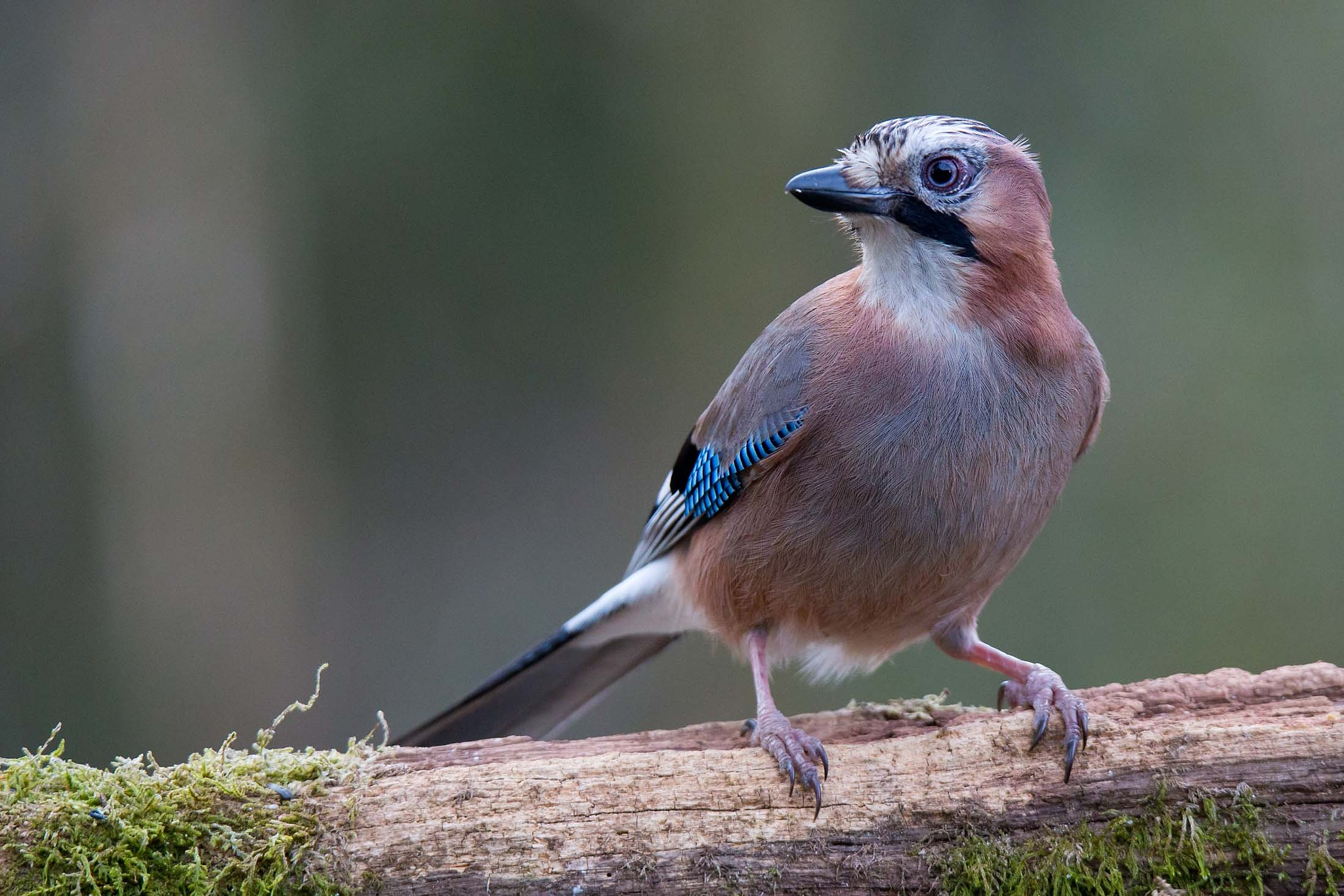 Eurasian jay #1 by Mikael Nilsson Photography