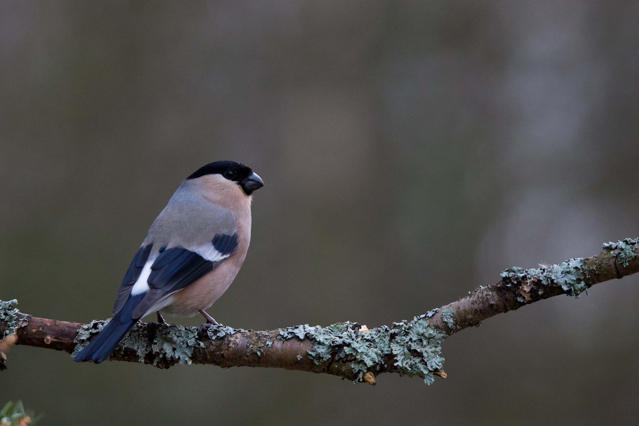Bullfinch (female) #1 by Mikael Nilsson Photography